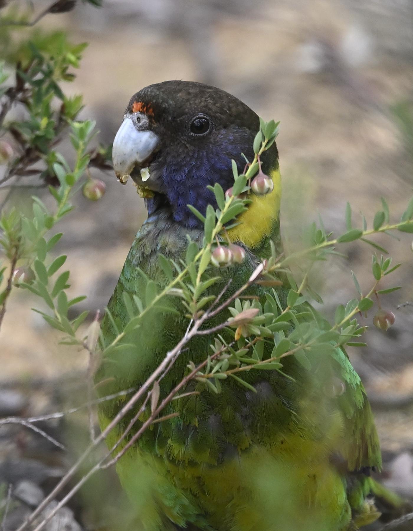 Australian Ringneck (Image ID 45822)
