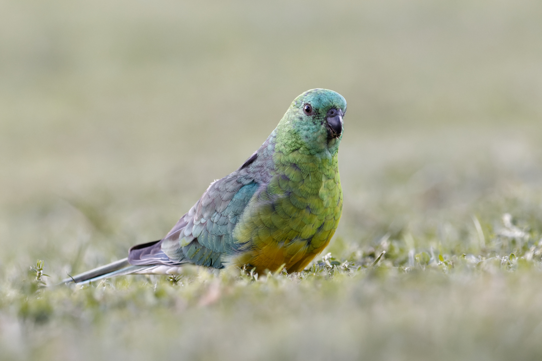 Red-rumped Parrot (Image ID 45666)