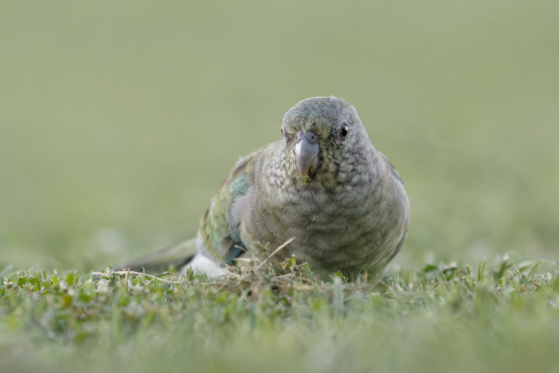 Red-rumped Parrot (Image ID 45664)