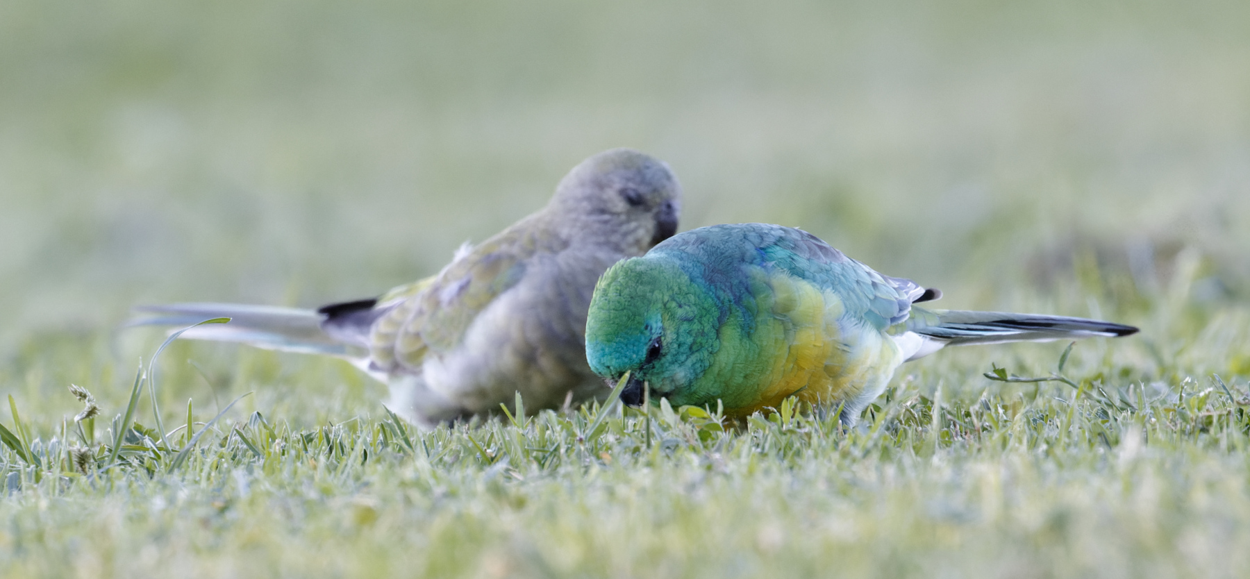 Red-rumped Parrot (Image ID 45669)
