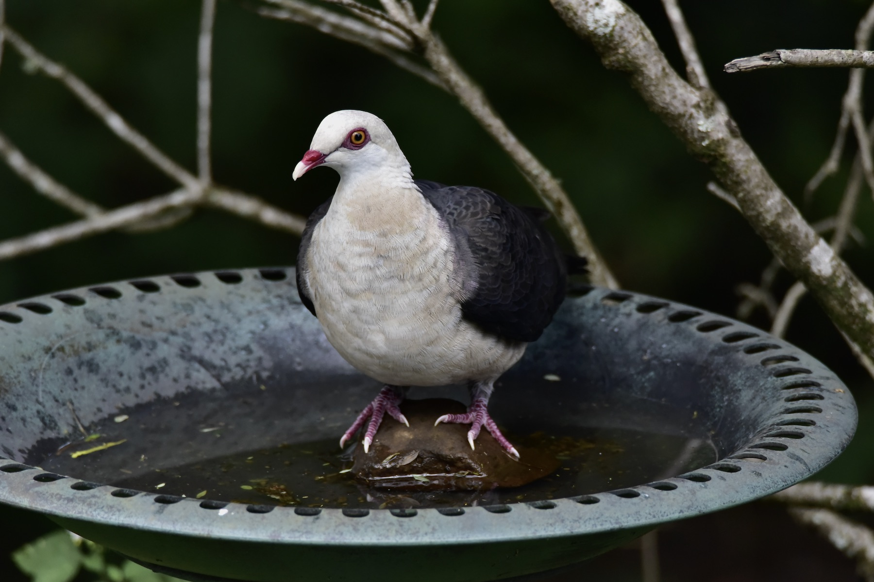 White-headed Pigeon (Image ID 45721)