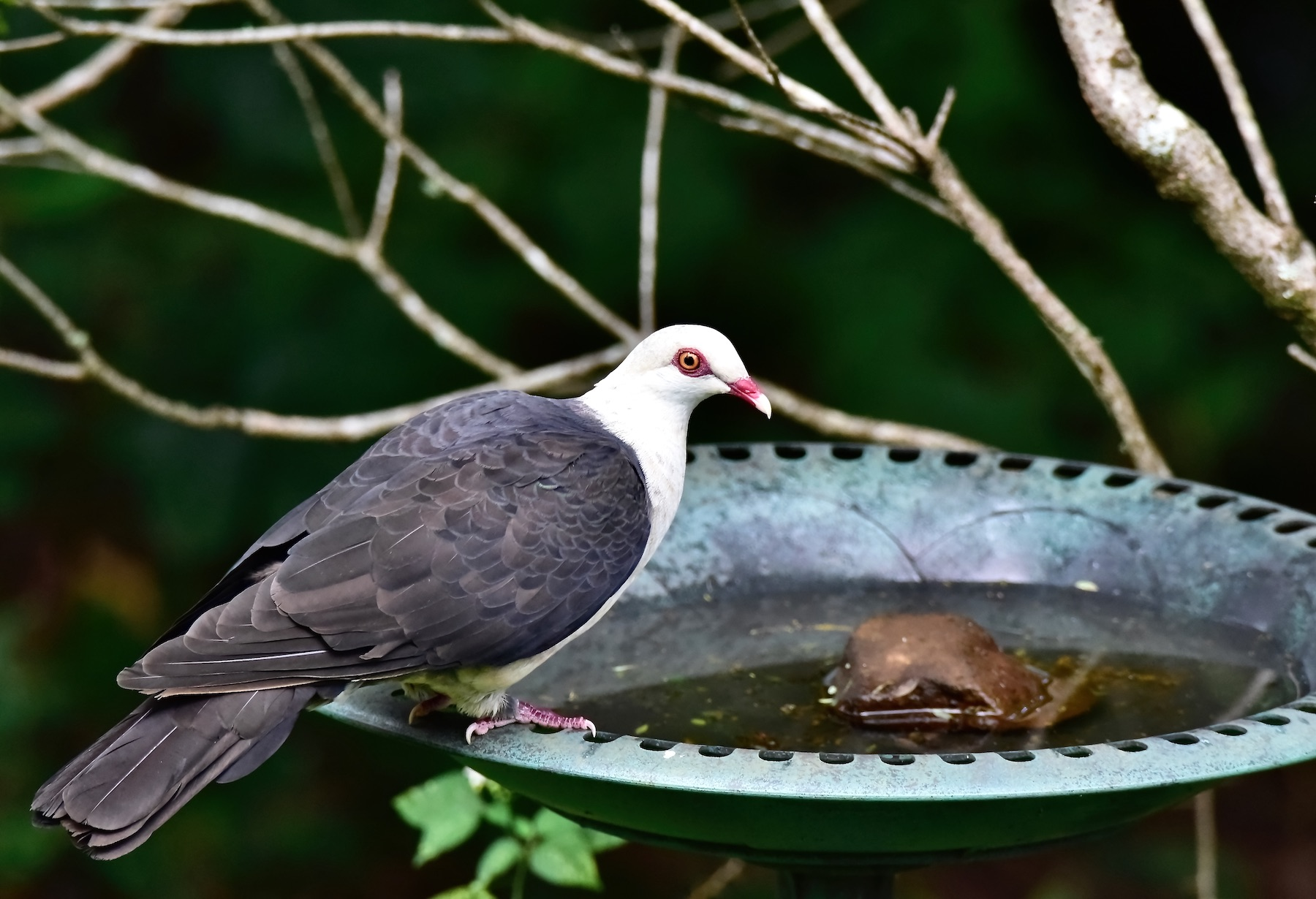 White-headed Pigeon (Image ID 45719)