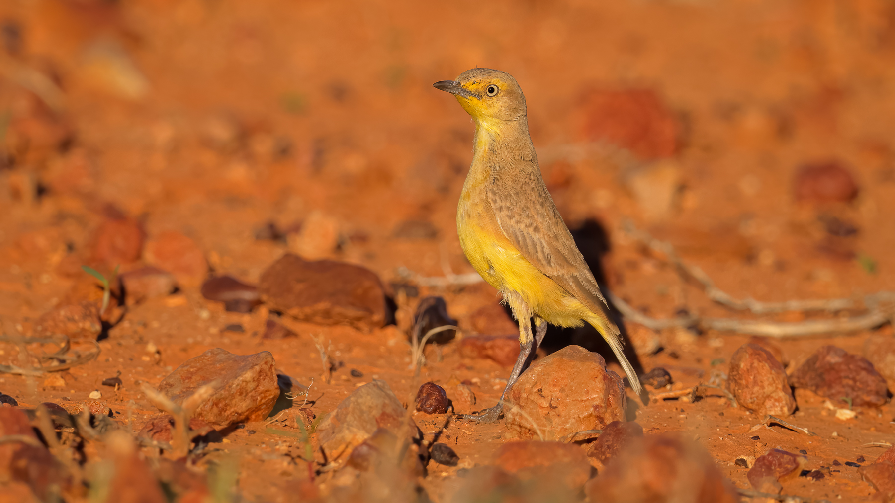 Gibberbird (Image ID 45593)