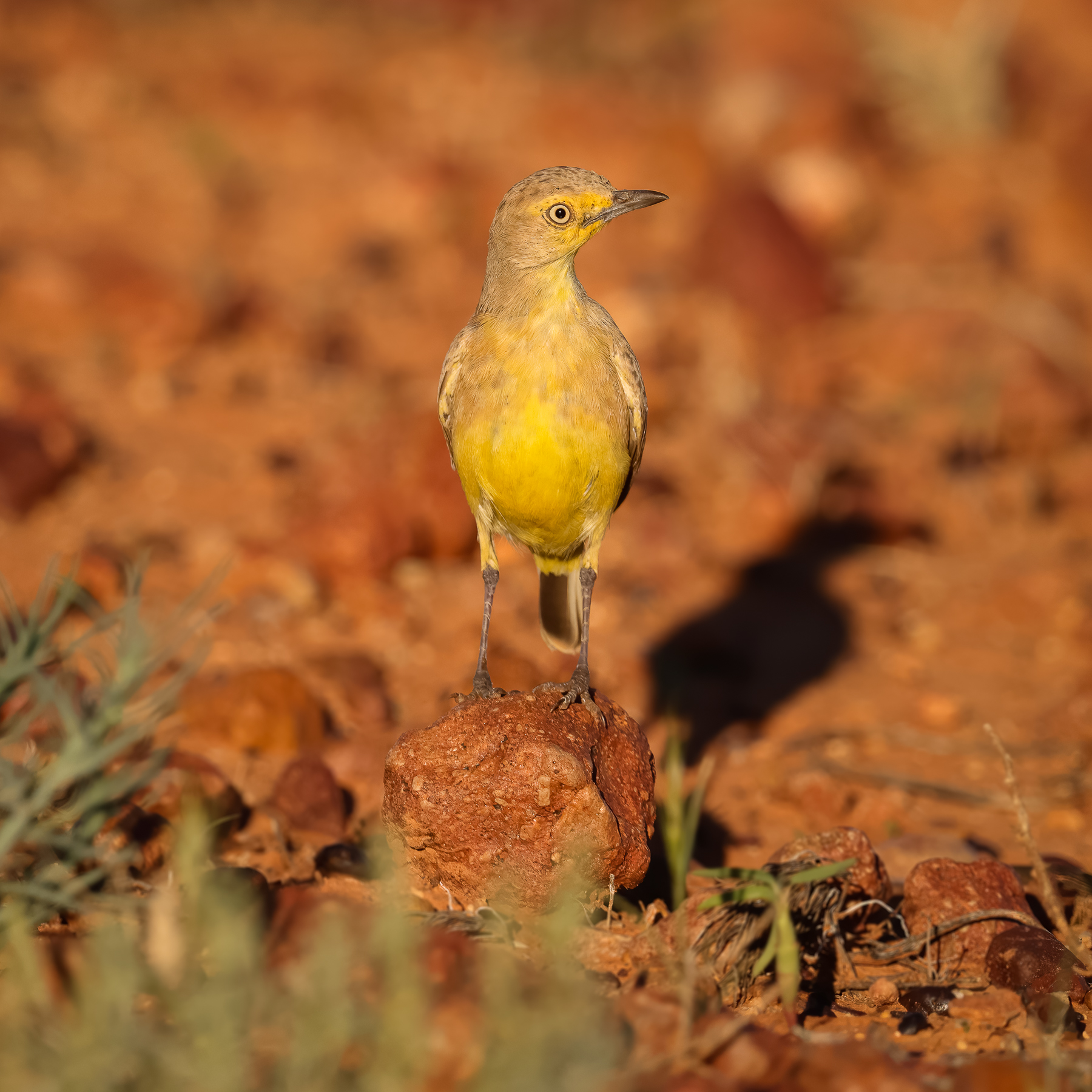 Gibberbird (Image ID 45633)