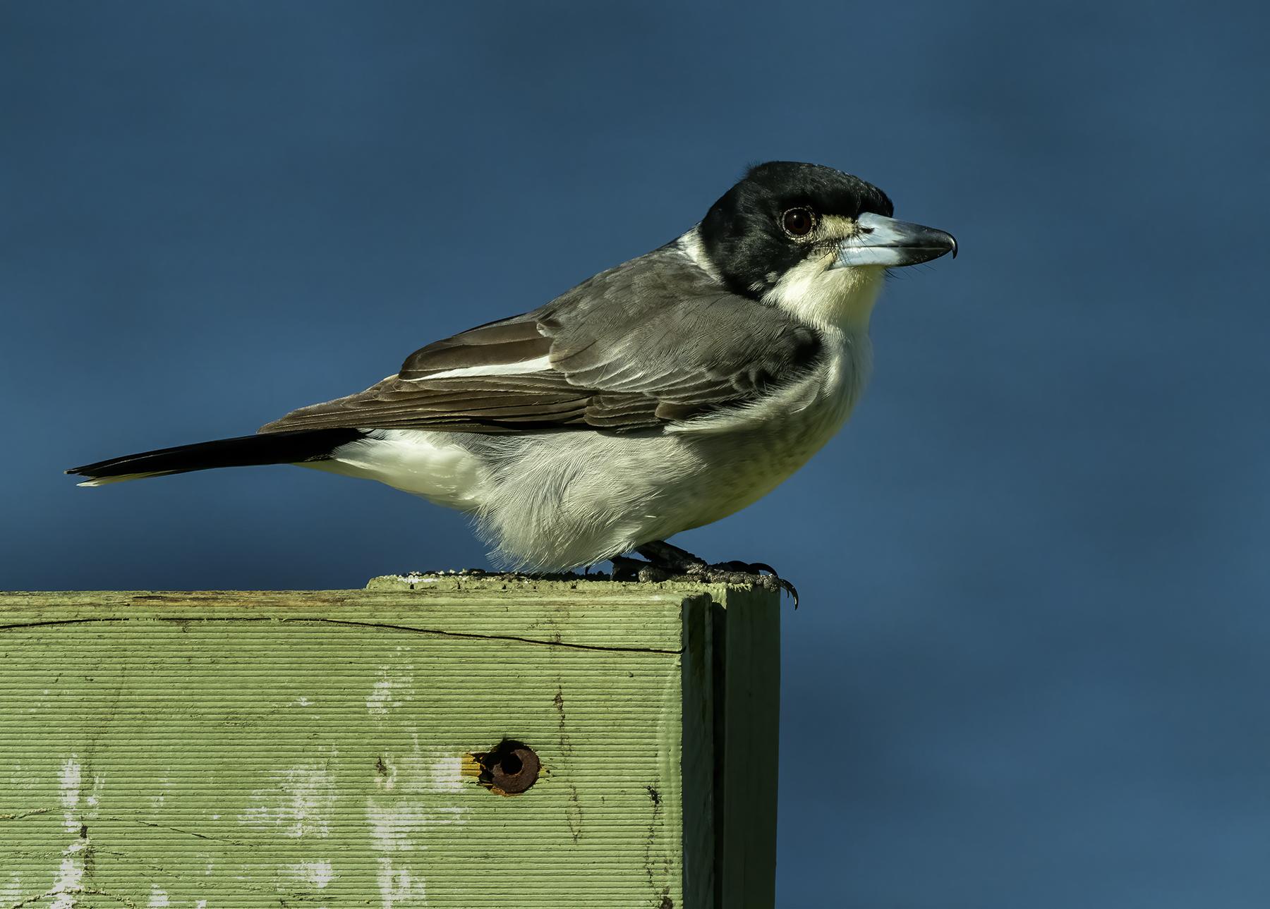 Grey Butcherbird (Image ID 45580)