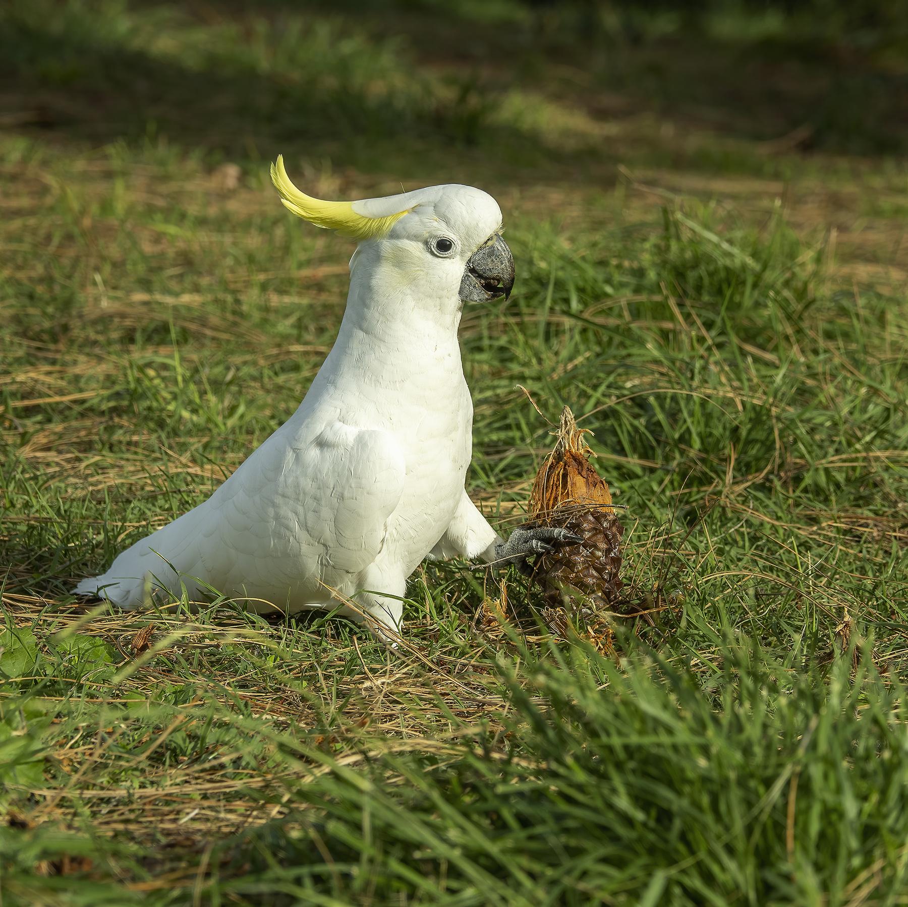 Sulphur-crested Cockatoo (Image ID 45798)
