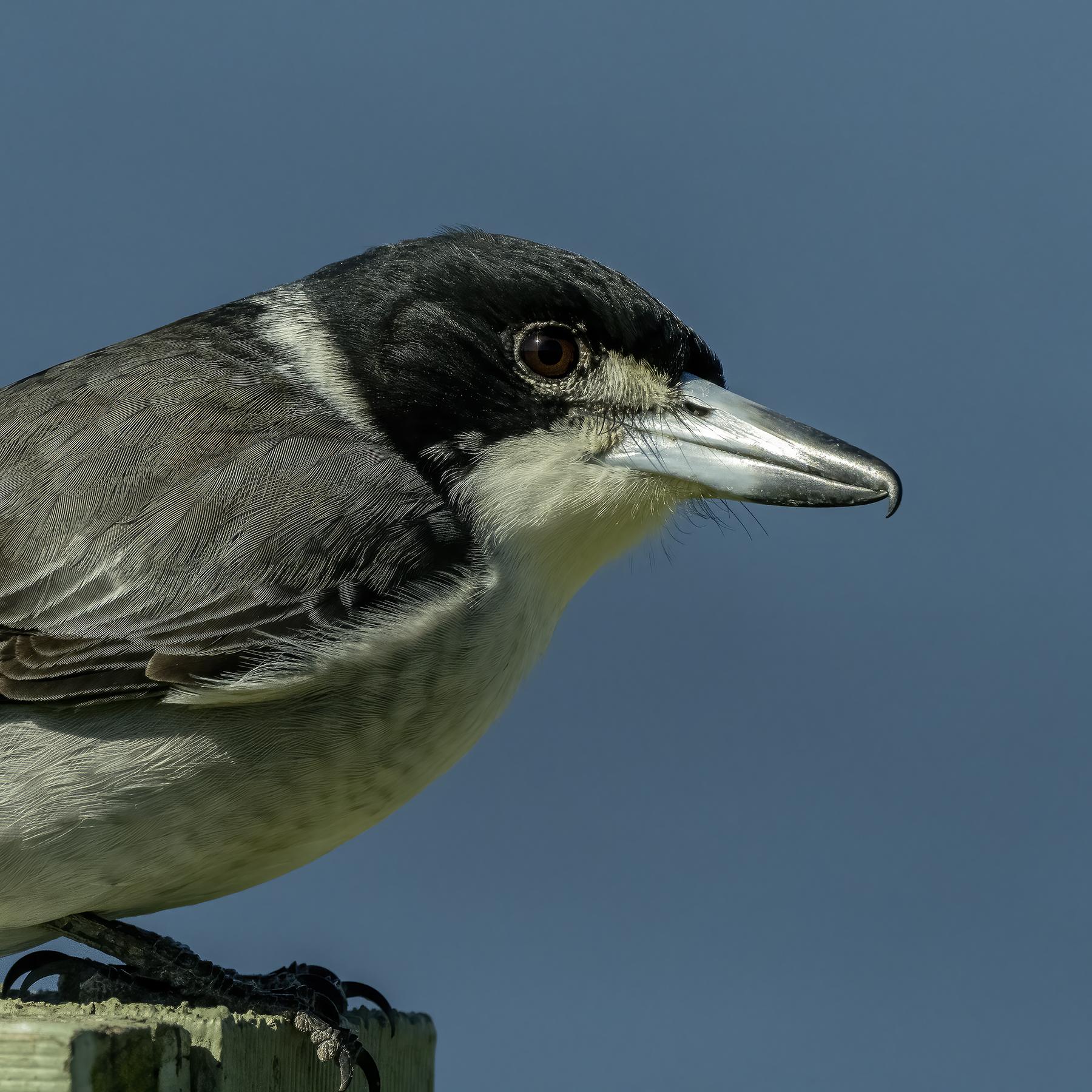 Grey Butcherbird (Image ID 45657)