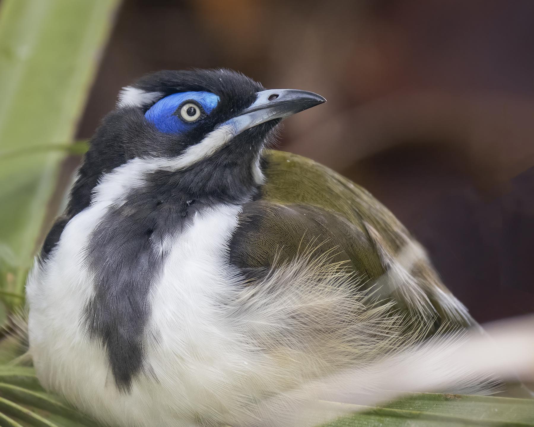 Blue-faced Honeyeater (Image ID 45796)