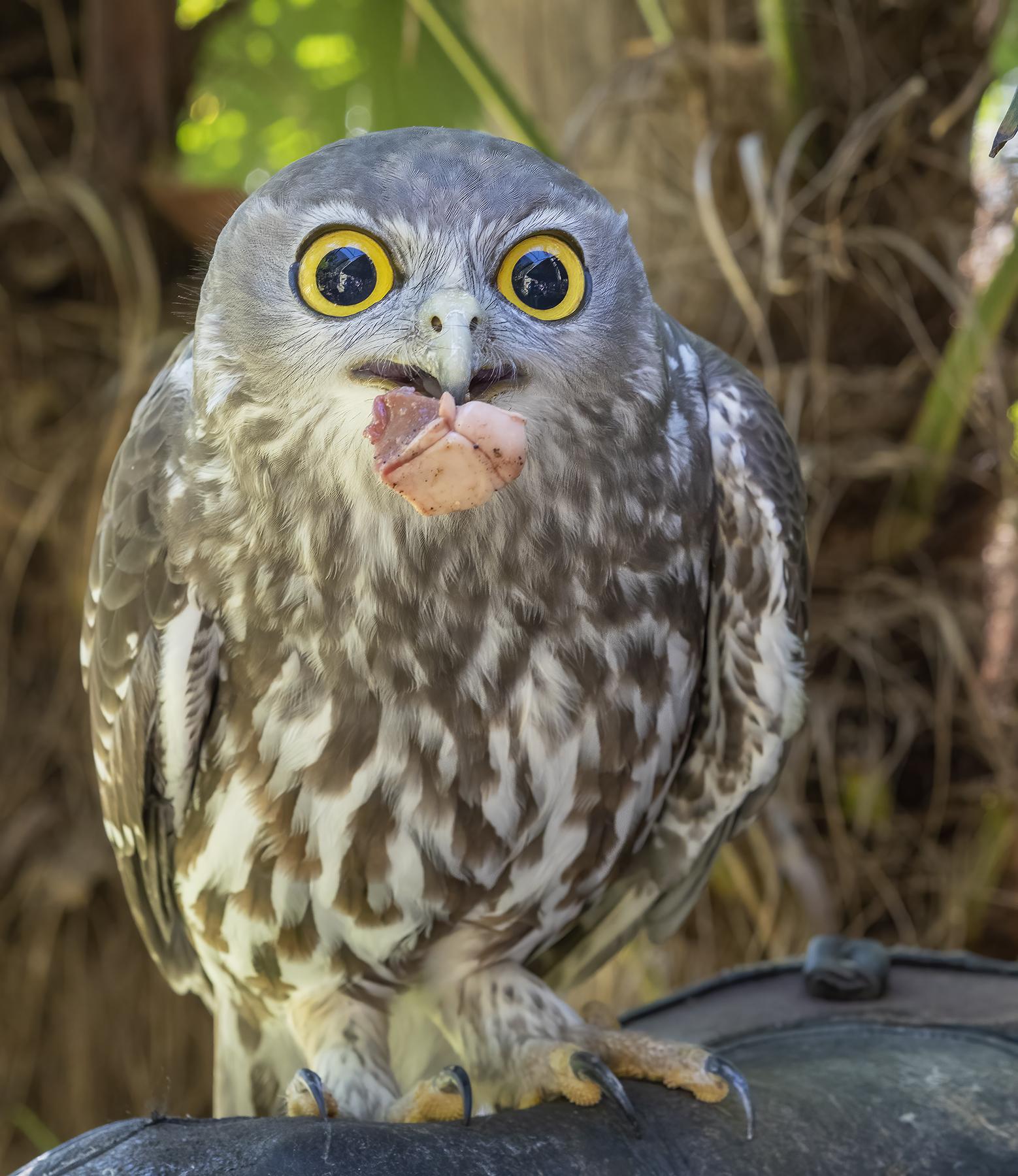 Barking Owl (Image ID 45659)