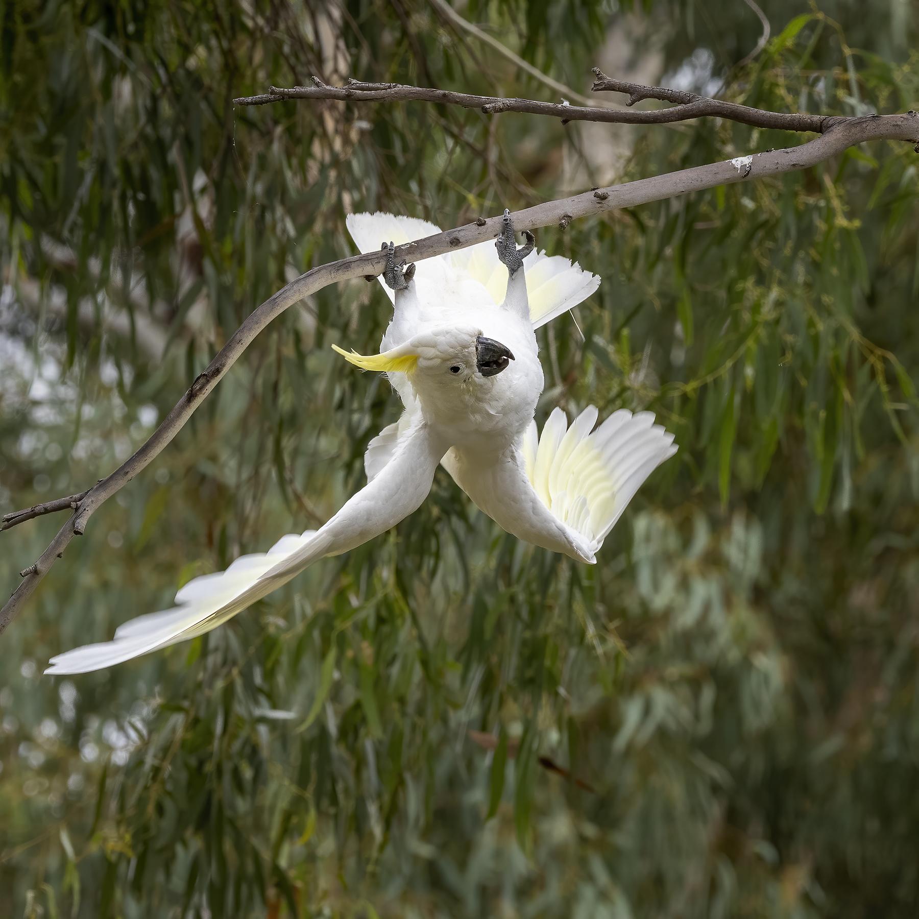 Sulphur-crested Cockatoo (Image ID 45685)