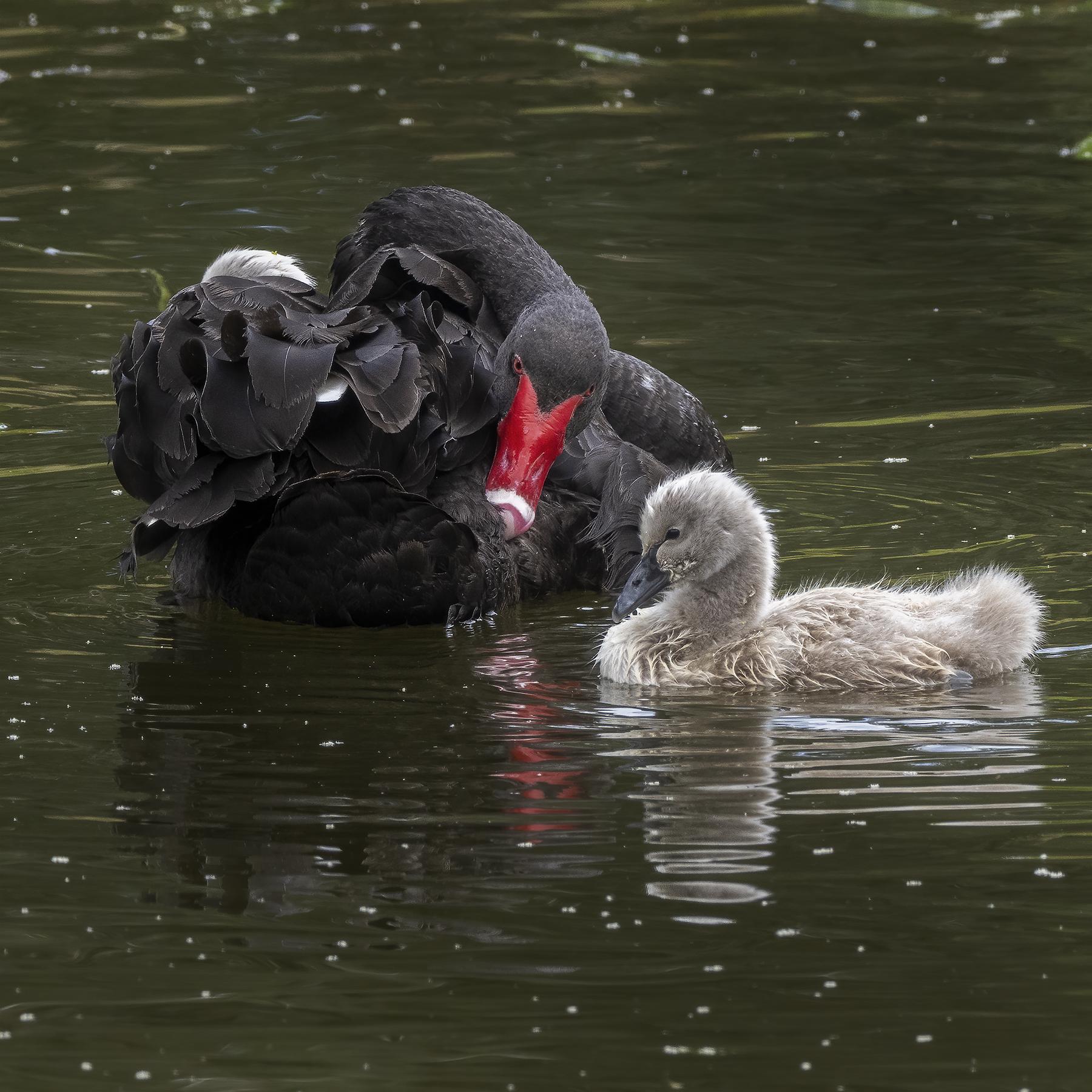 Black Swan (Image ID 45587)