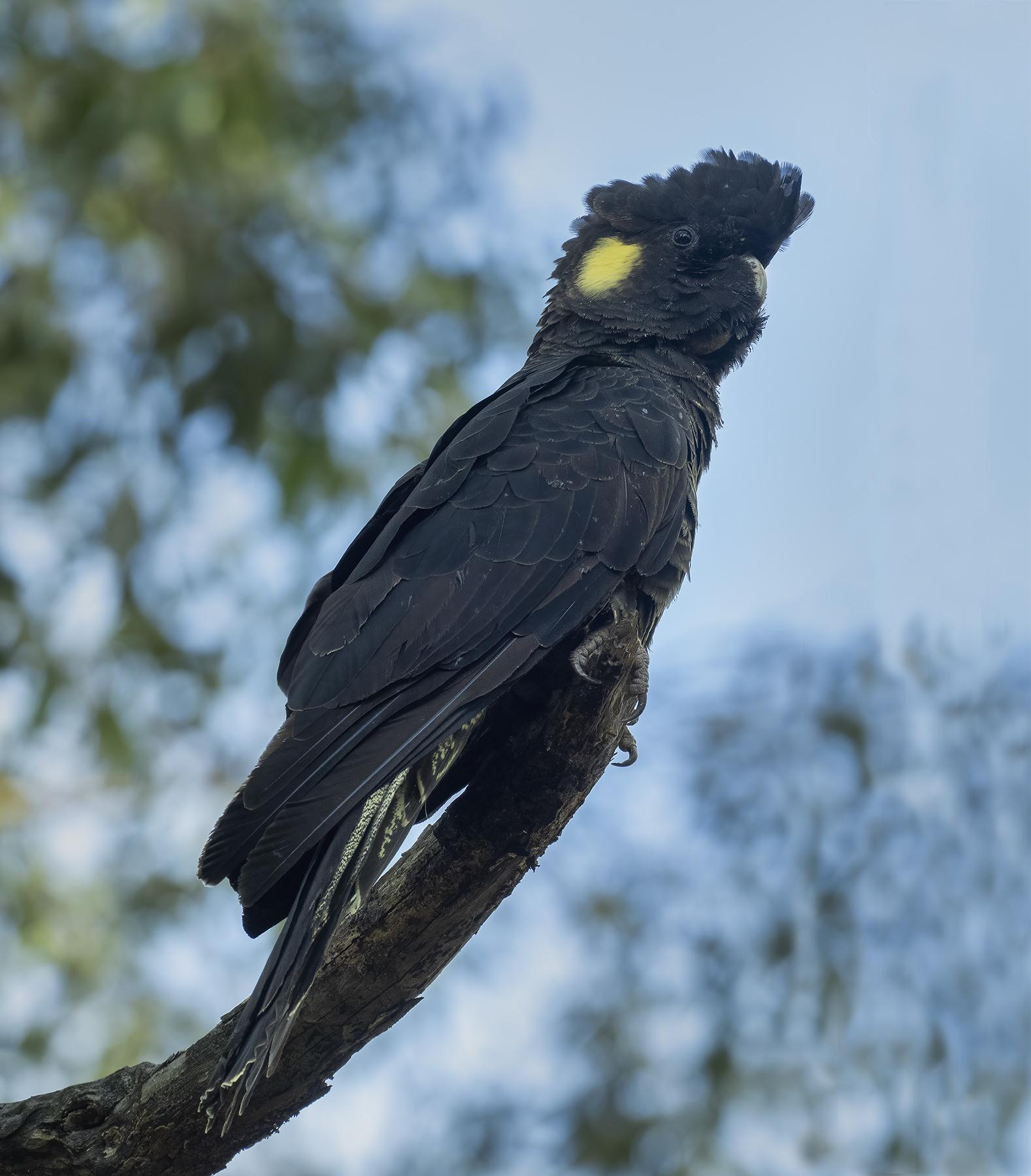 Yellow-tailed Black-Cockatoo (Image ID 45816)