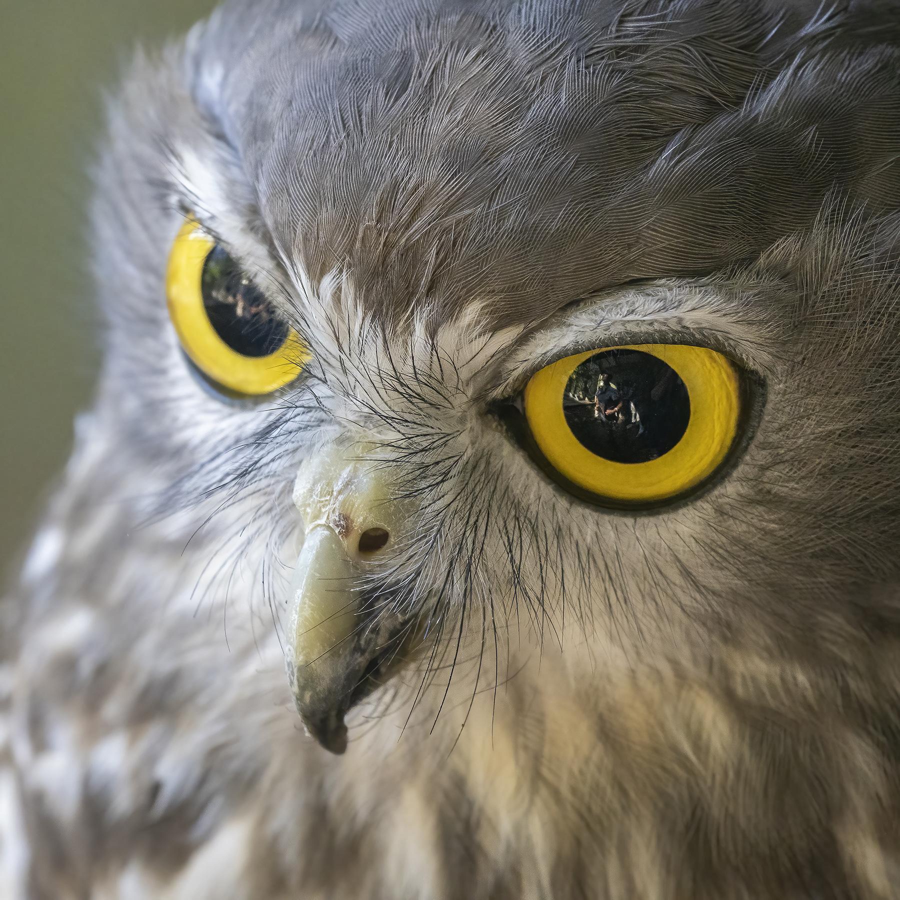 Barking Owl (Image ID 45589)