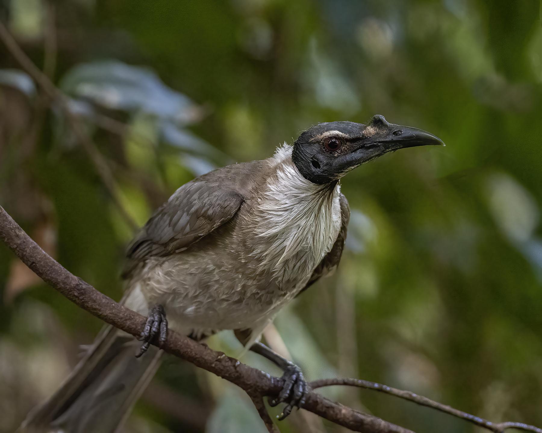 Noisy Friarbird (Image ID 45748)