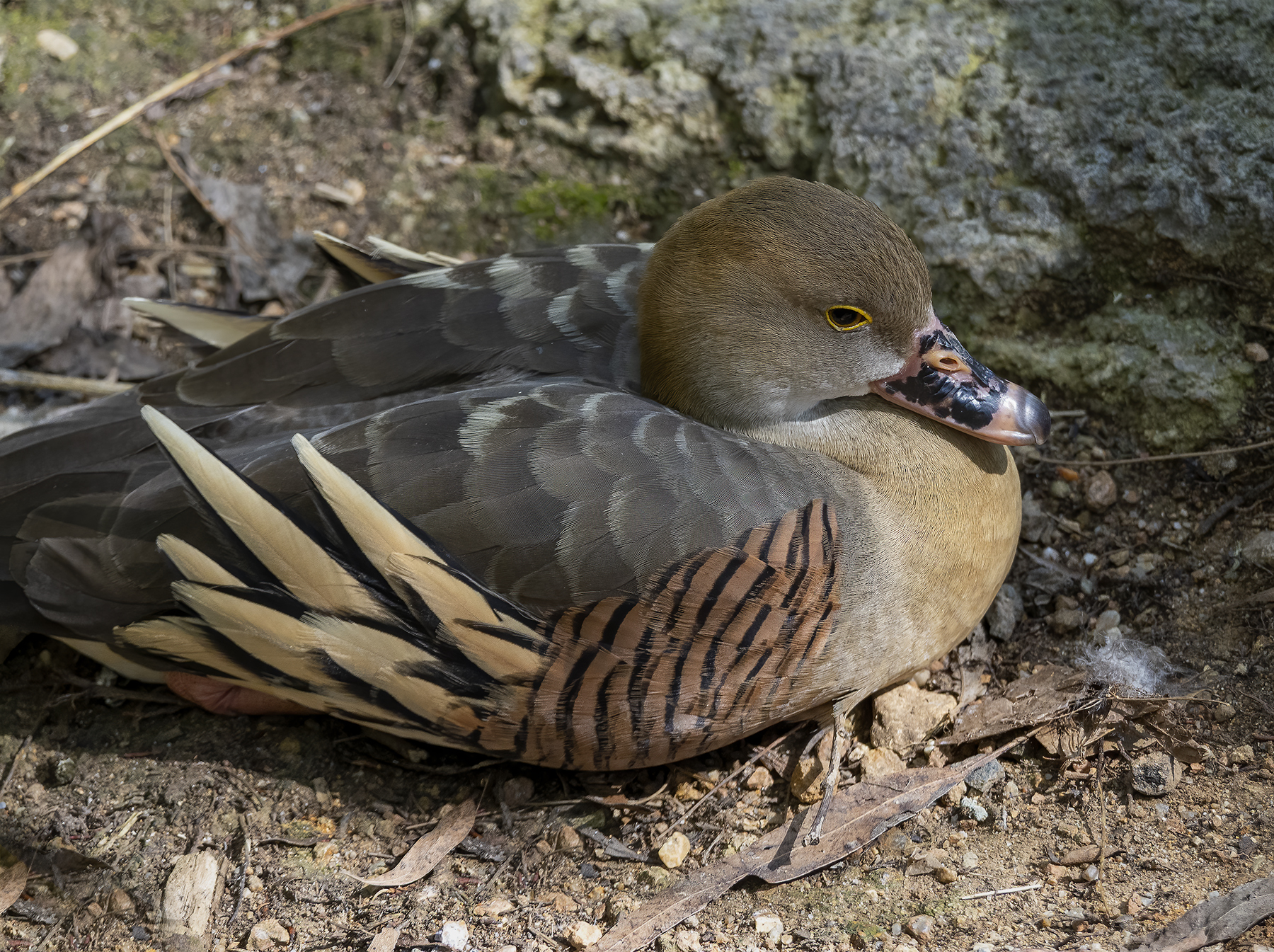 Plumed Whistling-Duck (Image ID 45730)