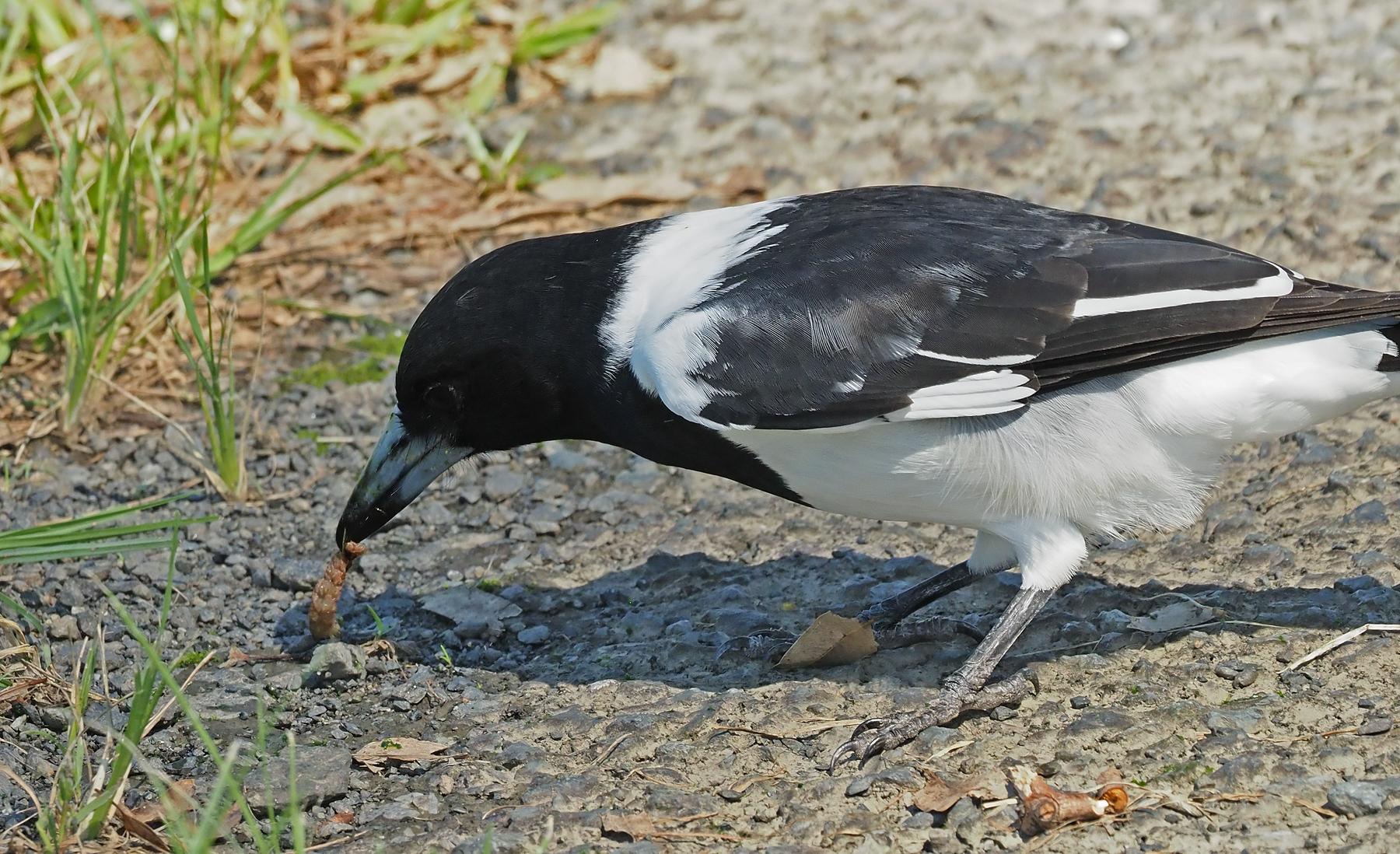 Pied Butcherbird (Image ID 45653)