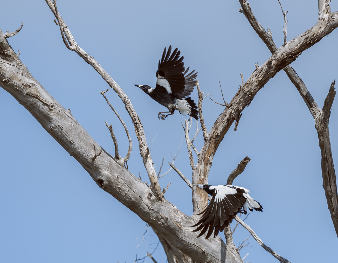 Australian Magpie (Image ID 45697)