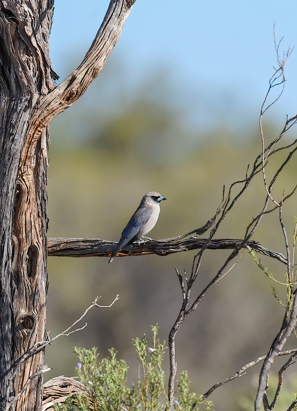 Black-faced Woodswallow (Image ID 45578)