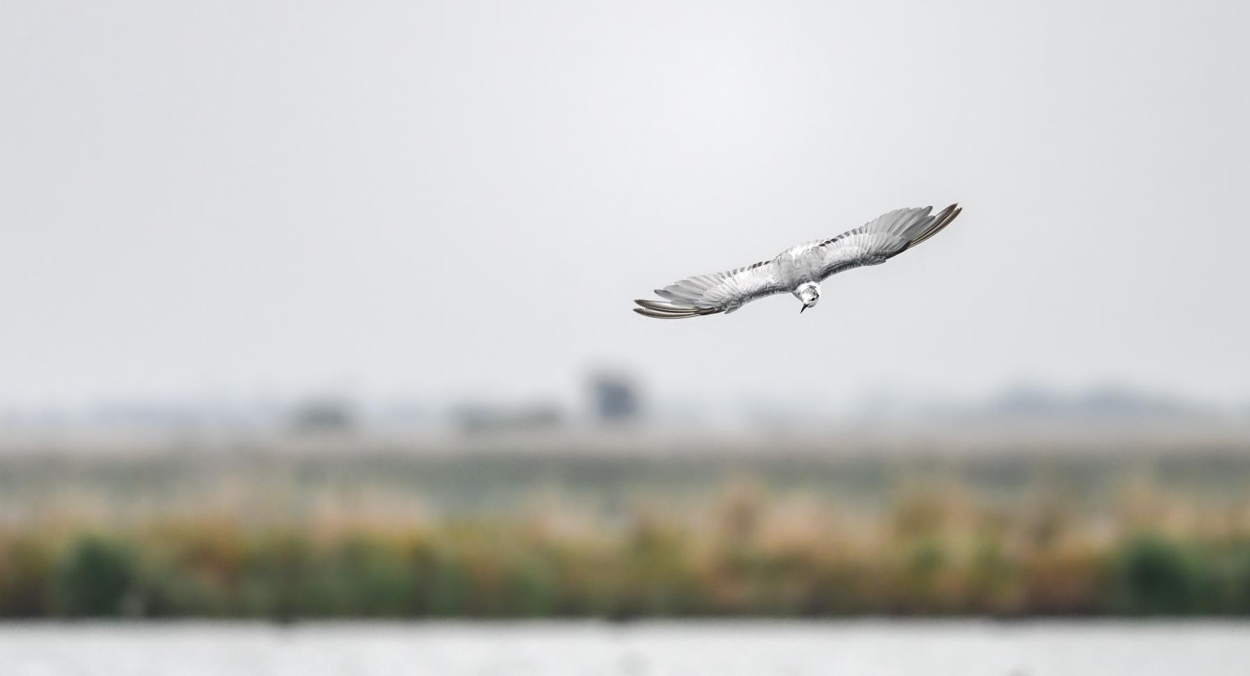 White-winged Black Tern (Image ID 45647)