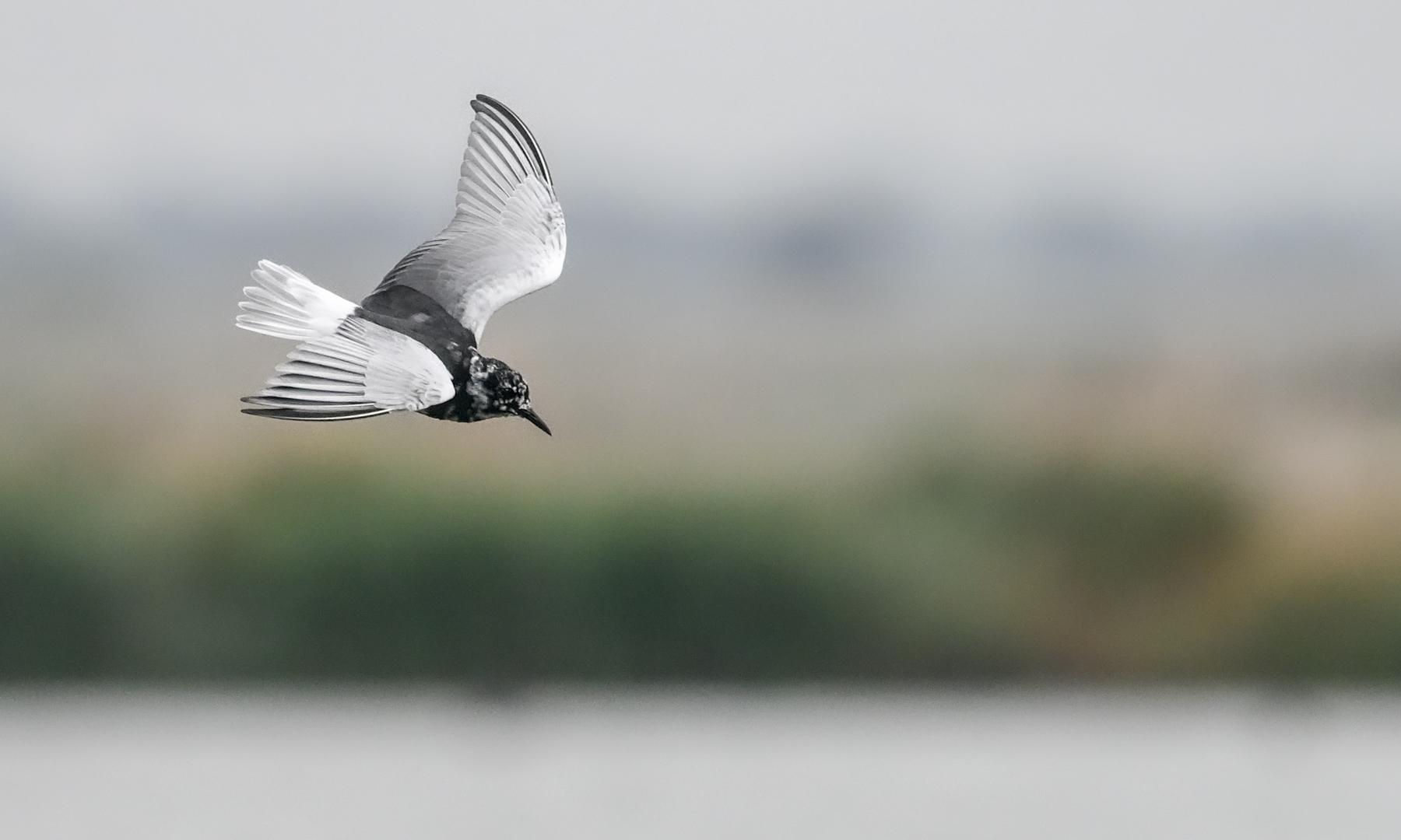 White-winged Black Tern (Image ID 45645)