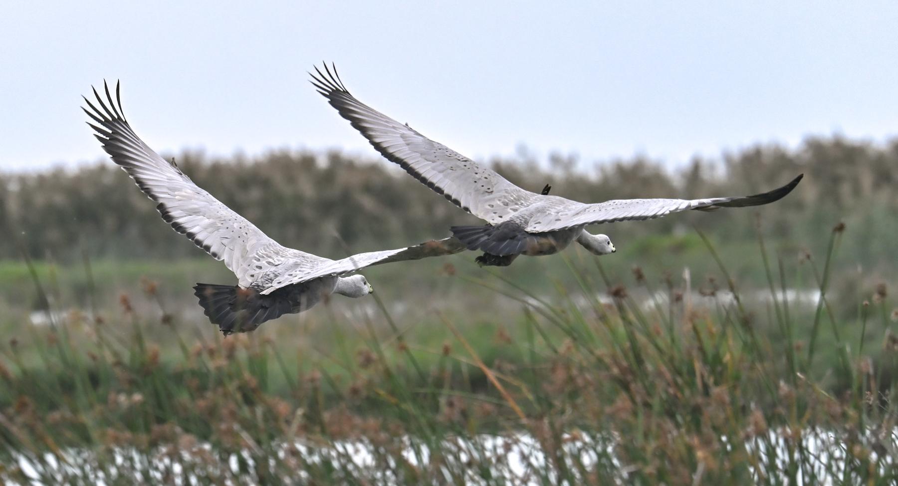 Cape Barren Goose (Image ID 45648)