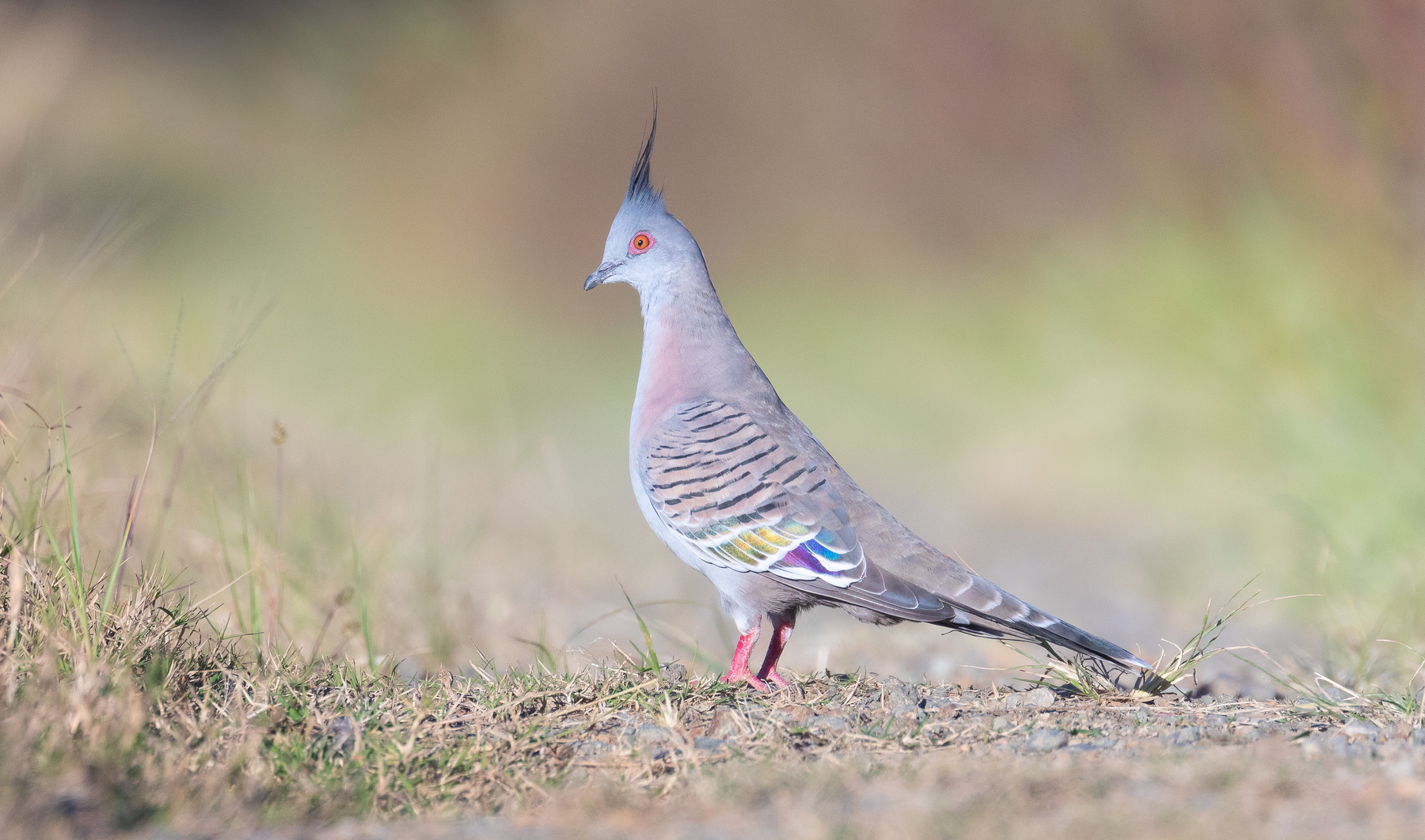 Crested Pigeon (Image ID 45916)