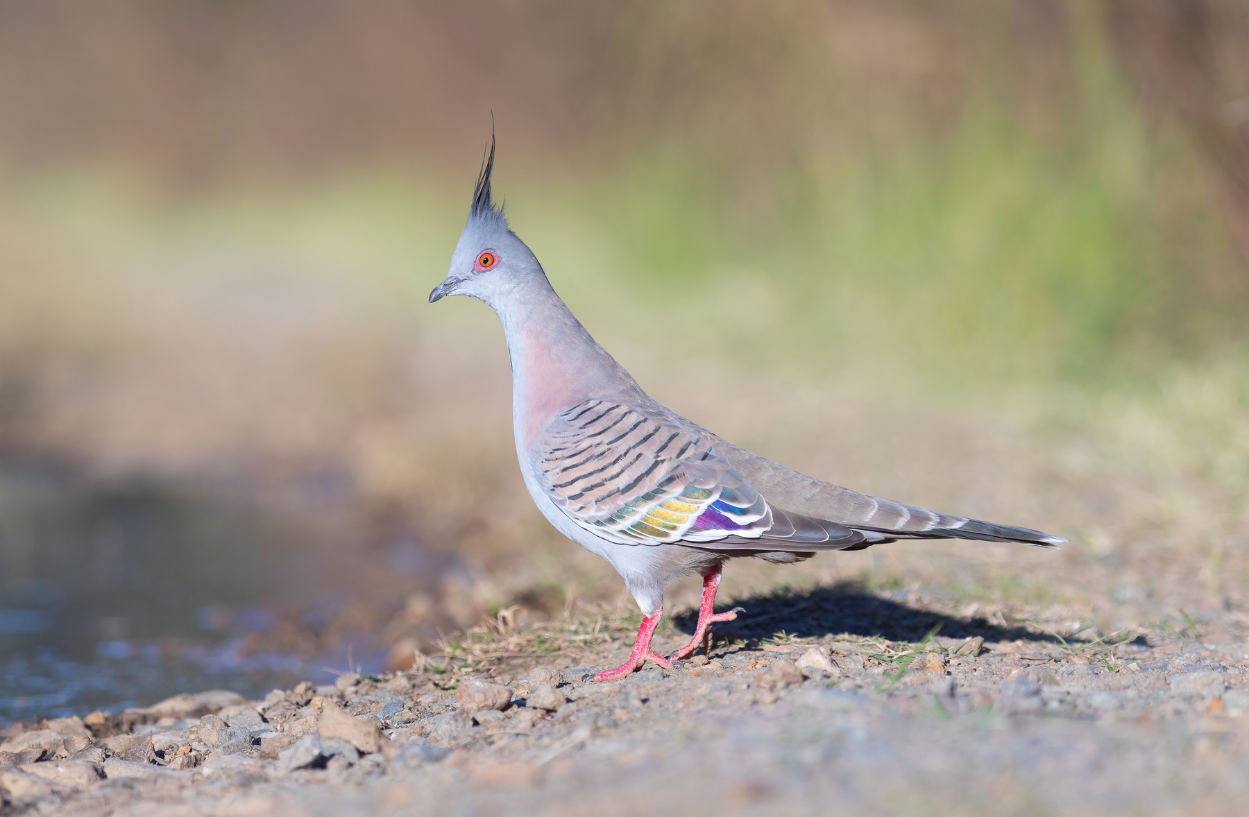 Crested Pigeon (Image ID 45917)