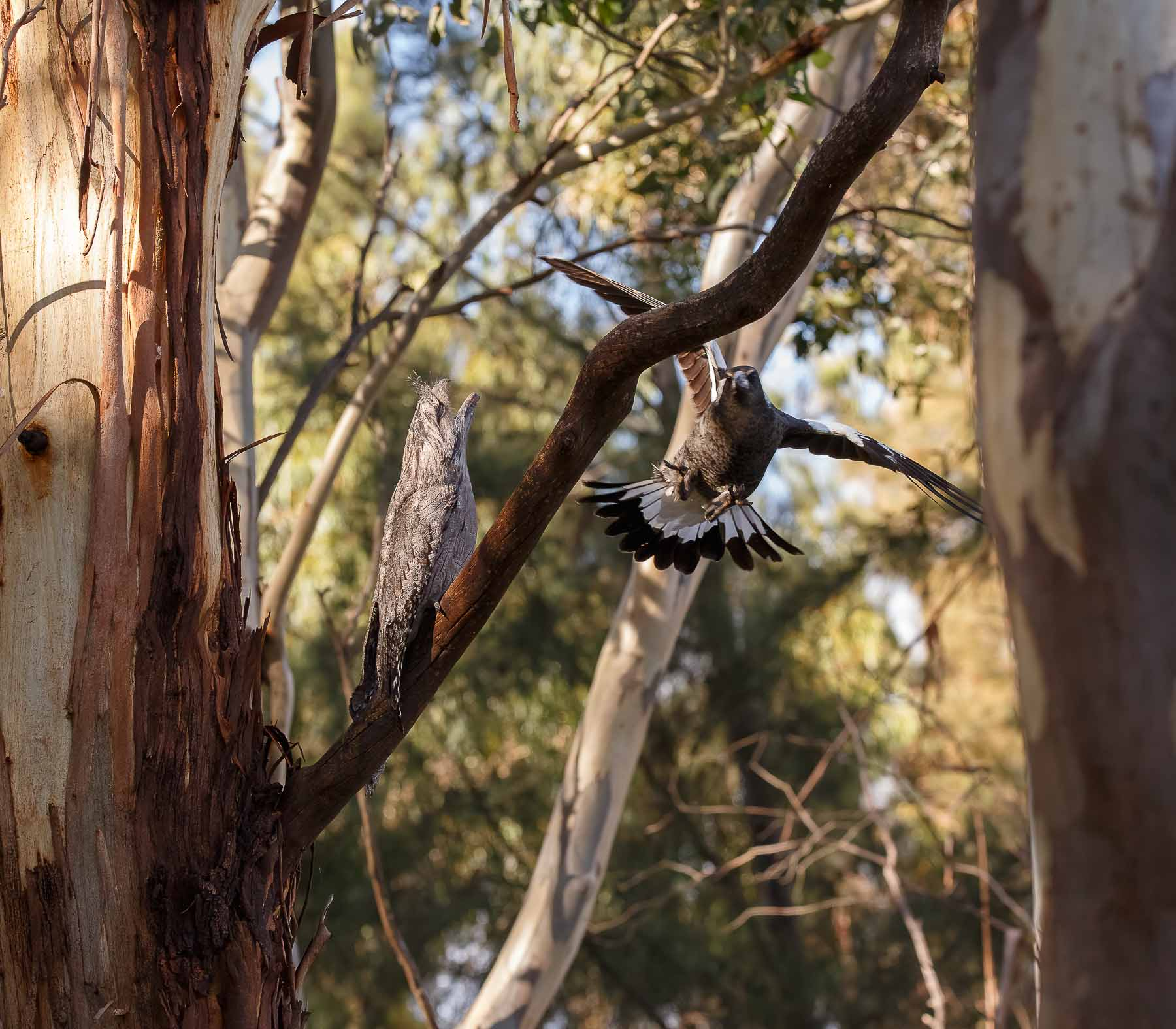 Australian Magpie, Tawny Frogmouth (Image ID 45611)