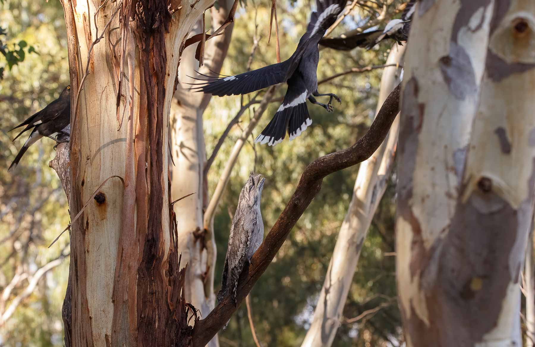 Australian Magpie, Black Currawong, Tawny Frogmouth (Image ID 45610)