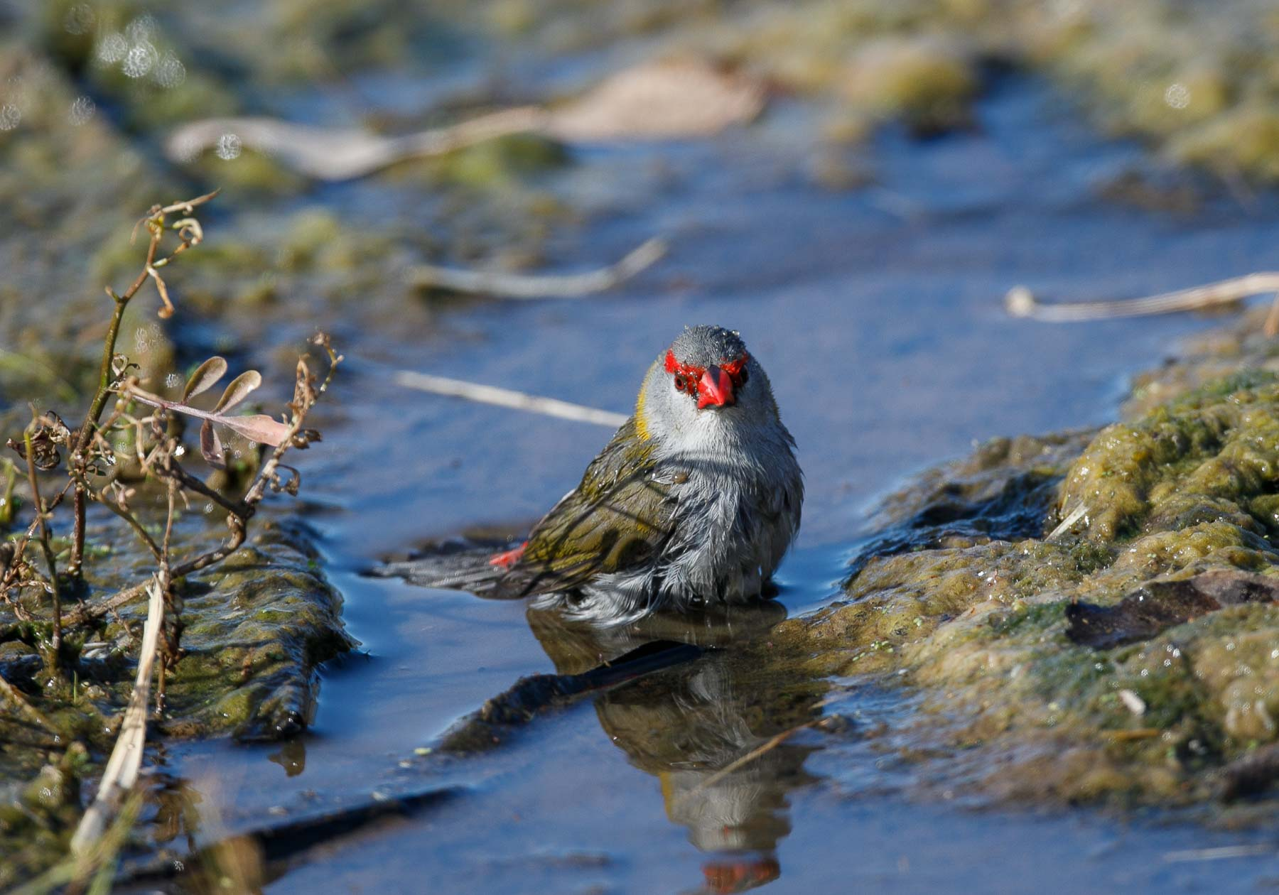 Red-browed Finch (Image ID 45881)