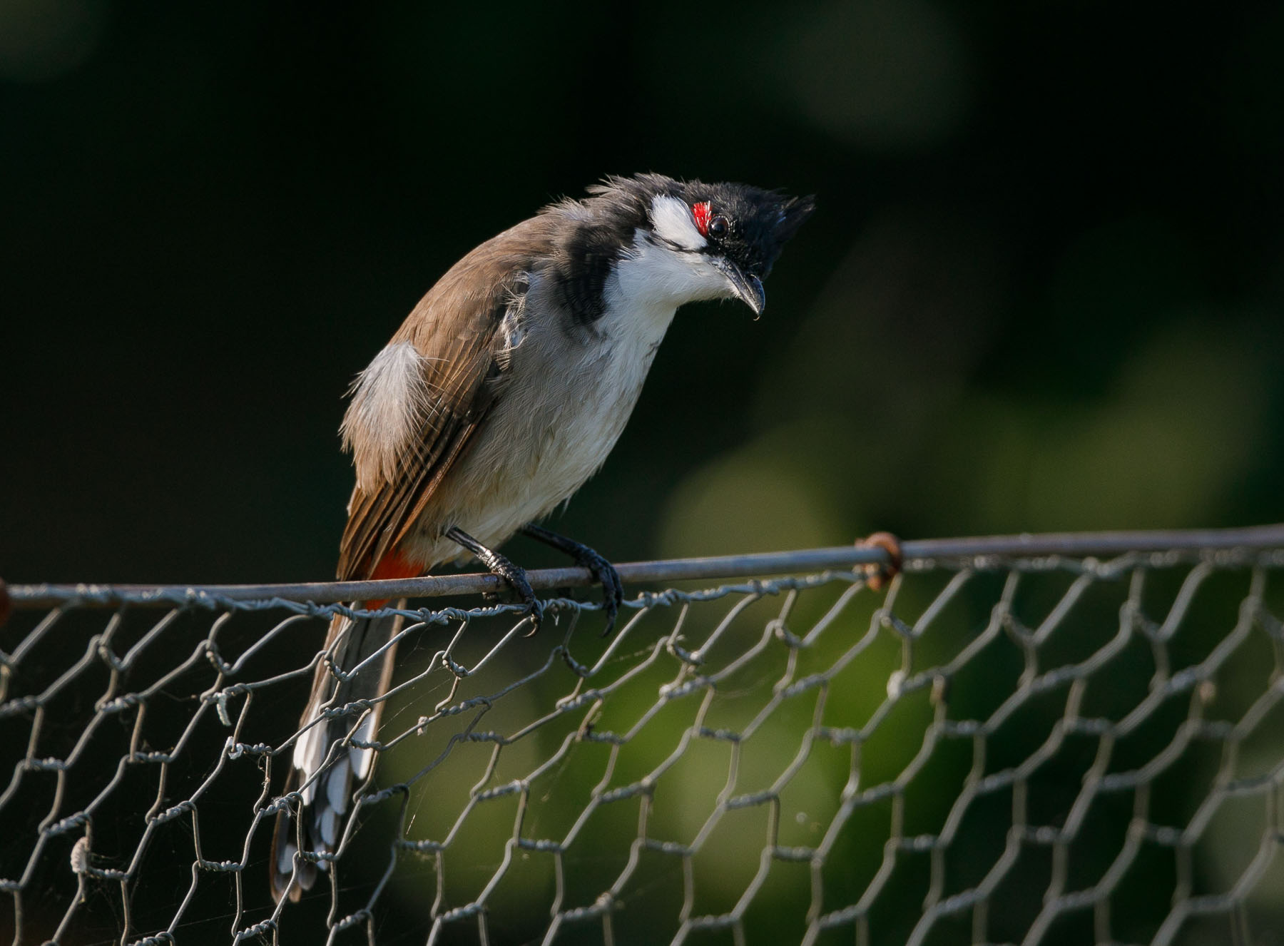Red-whiskered Bulbul (Image ID 45878)