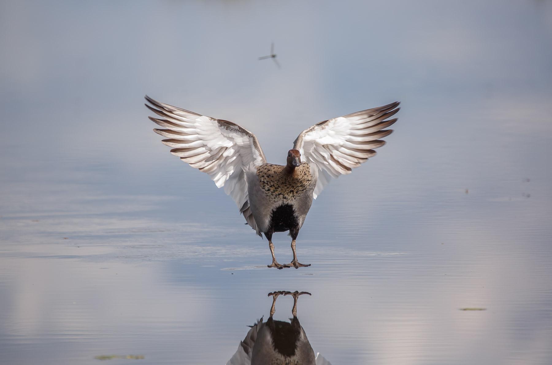 Australian Wood Duck (Image ID 45543)