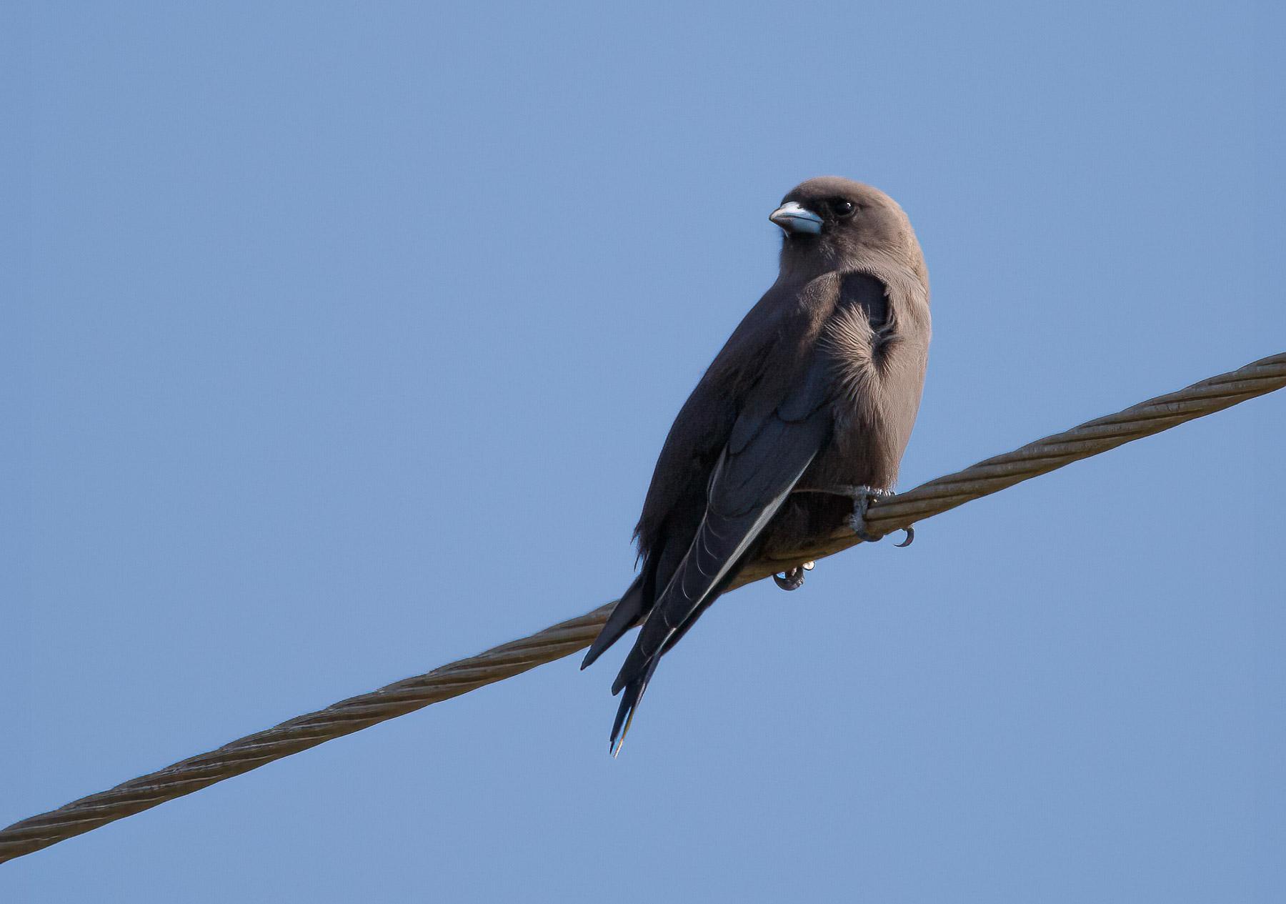 Dusky Woodswallow (Image ID 45880)