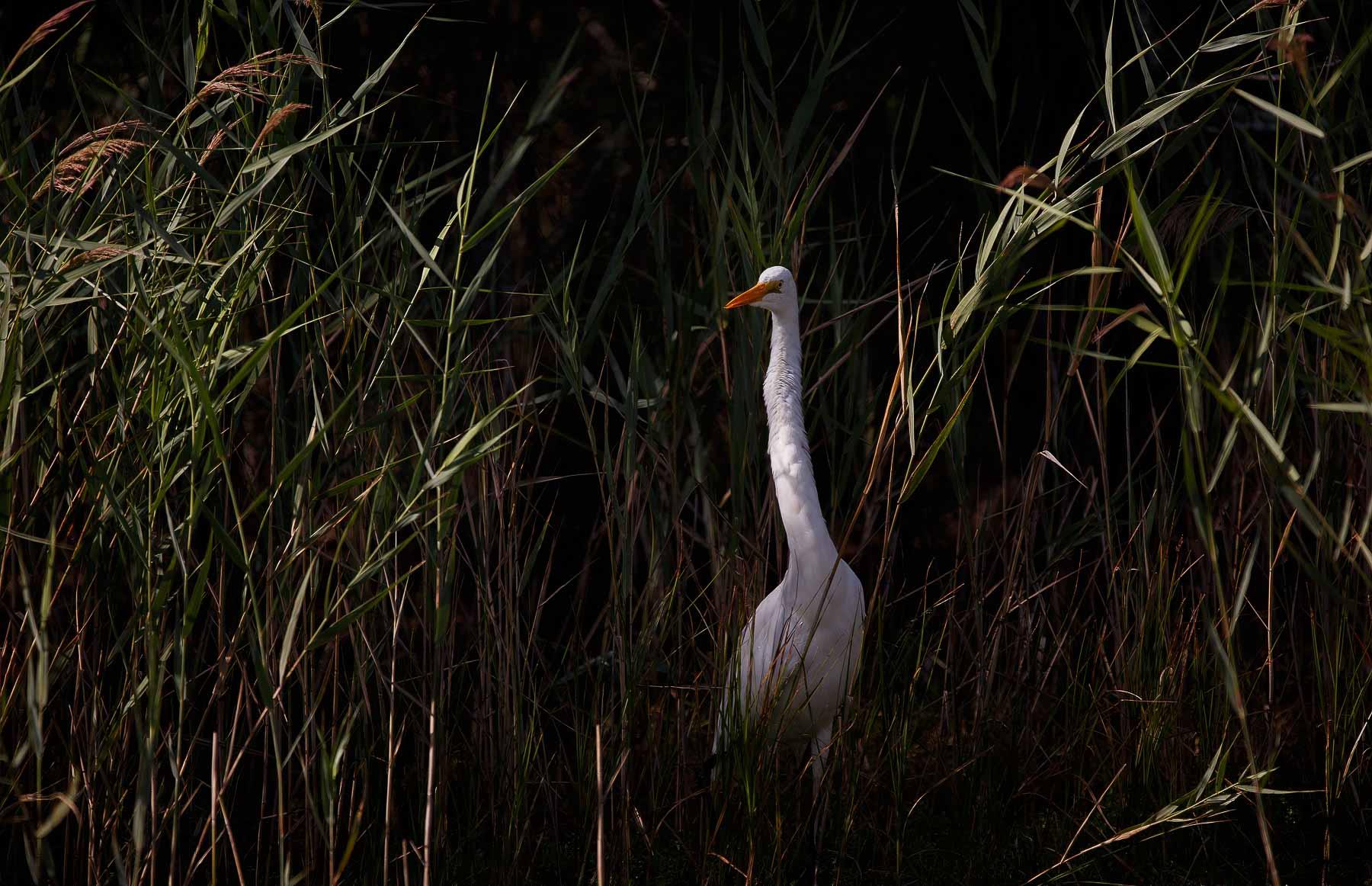 Great Egret (Image ID 45544)