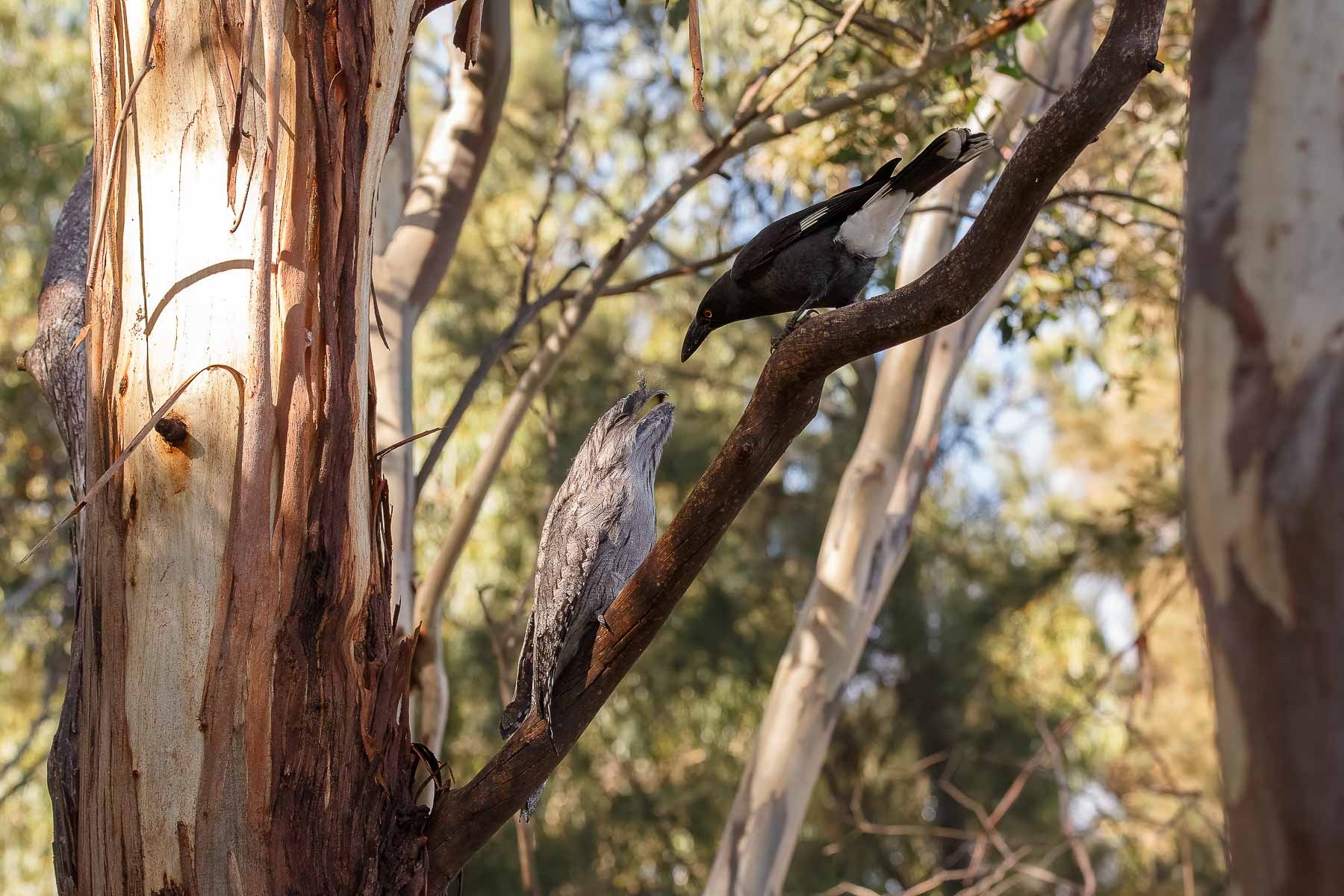 Black Currawong, Tawny Frogmouth (Image ID 45612)