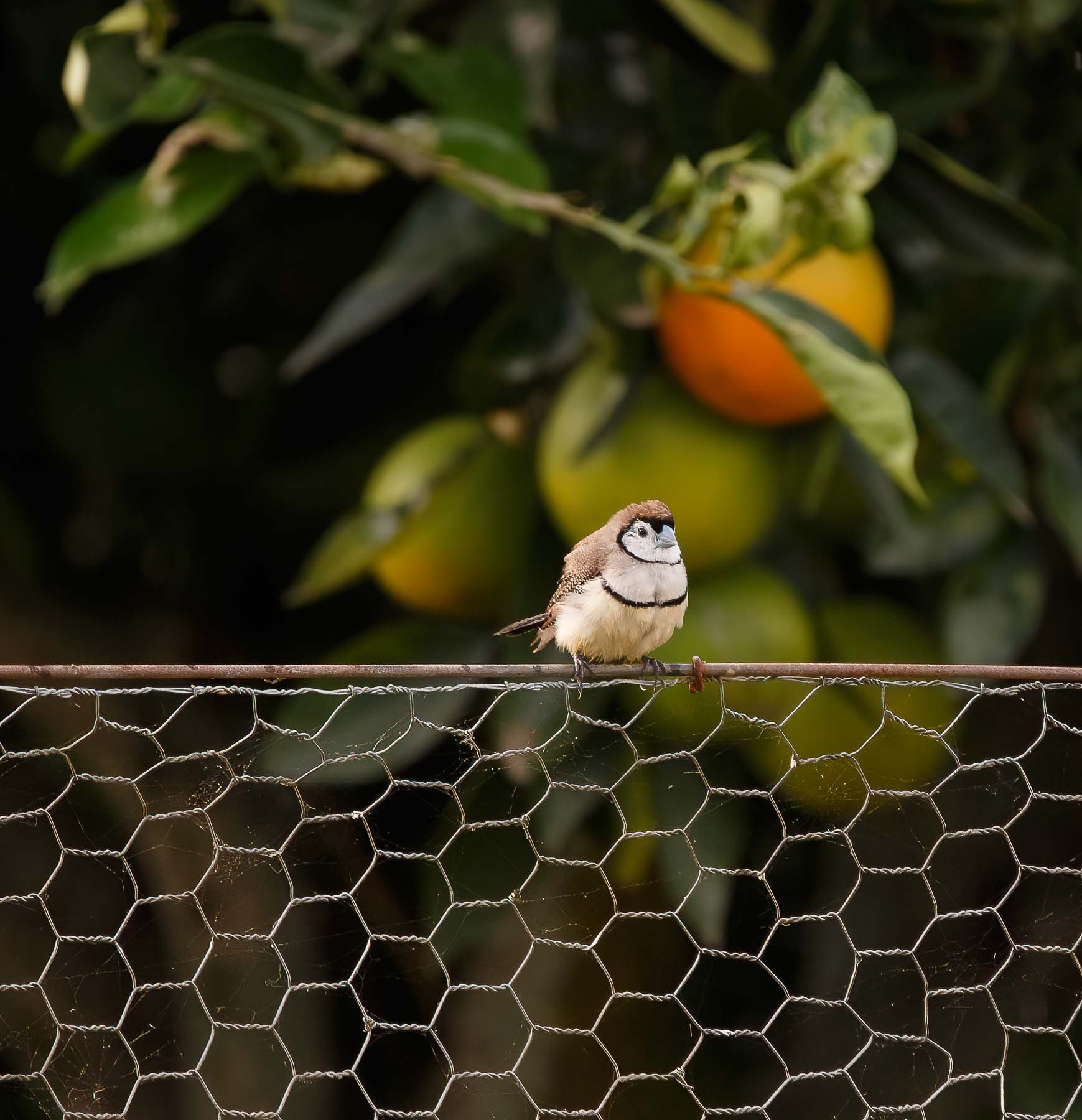 Double-barred Finch (Image ID 45762)