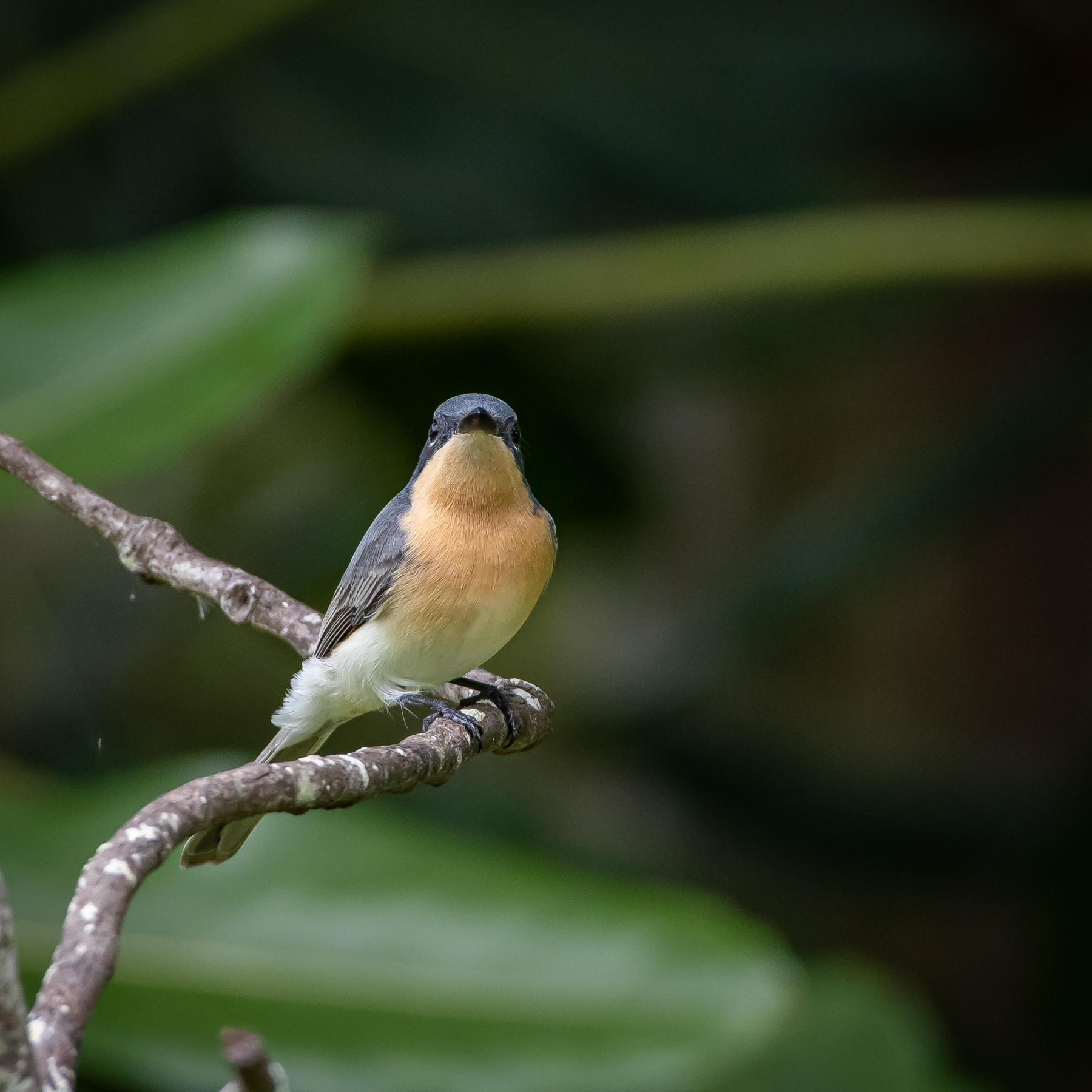 Leaden Flycatcher (Image ID 45752)