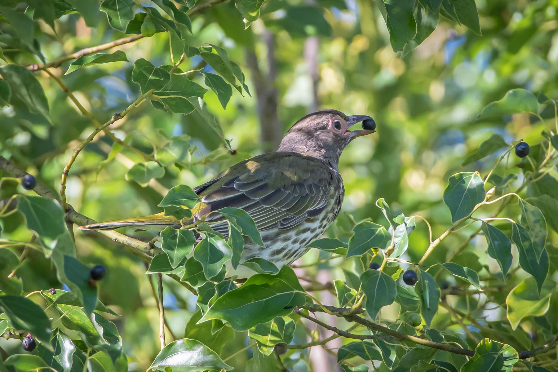 Australasian Figbird (Image ID 45724)