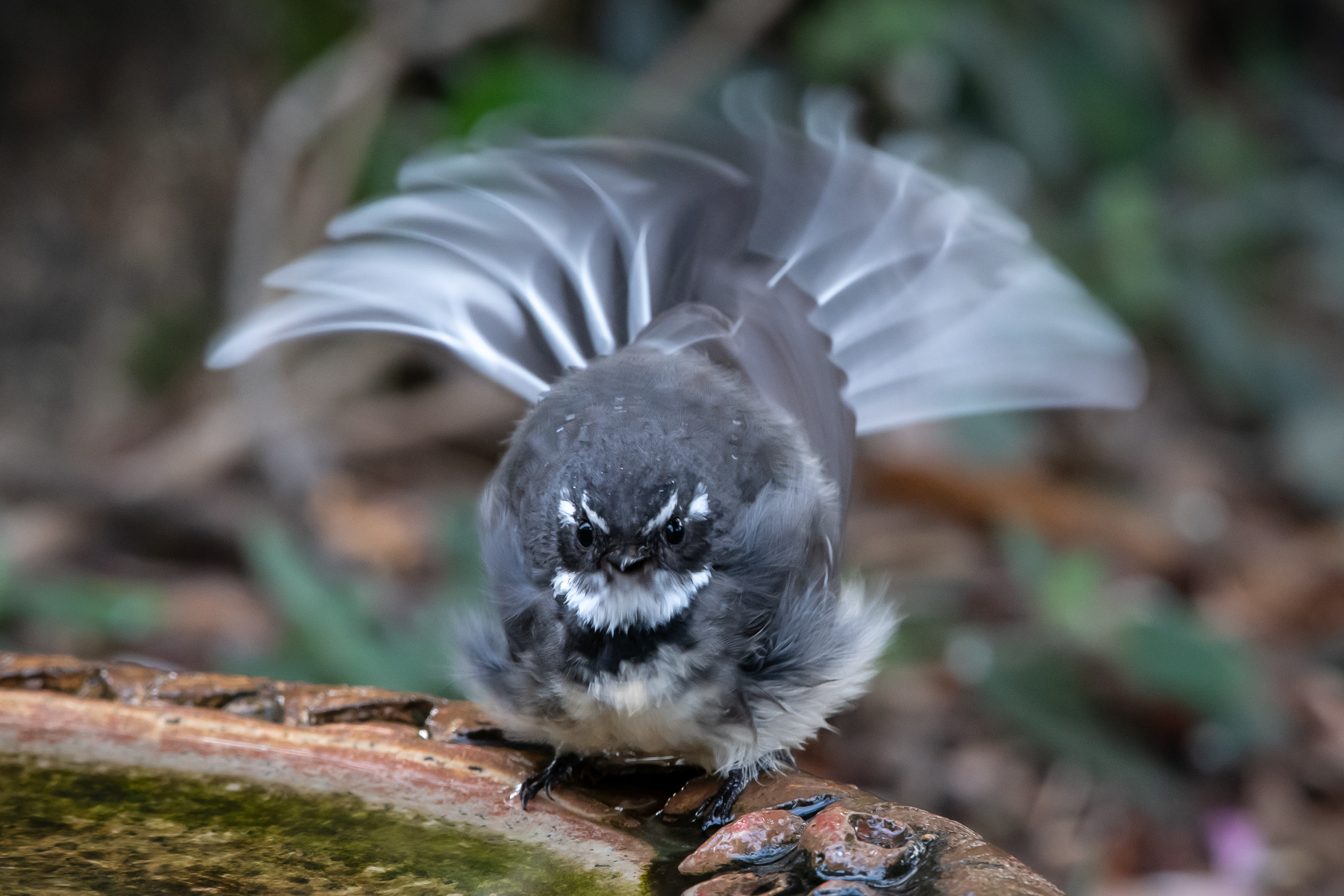 Grey Fantail (Image ID 45750)
