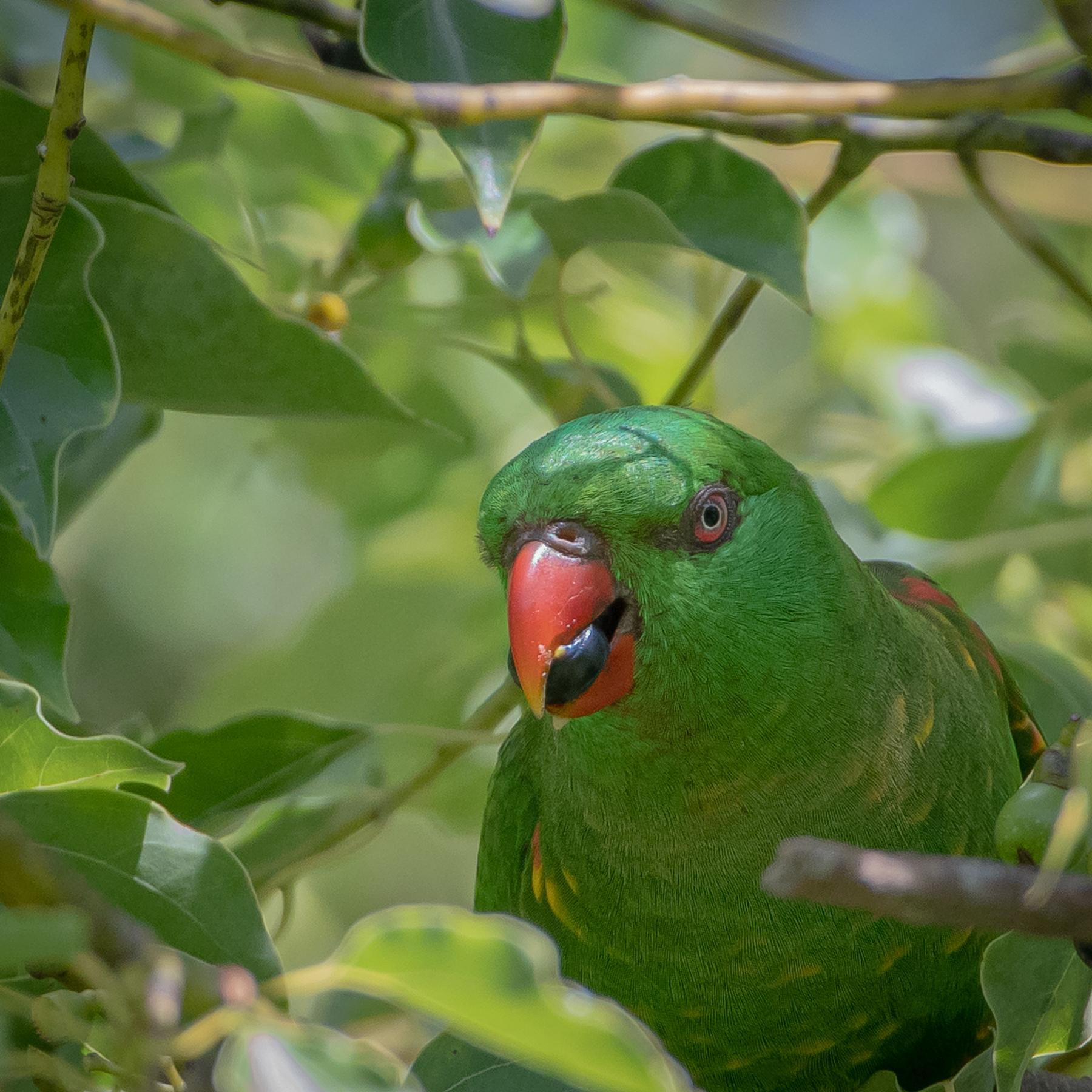 Scaly-breasted Lorikeet (Image ID 45722)