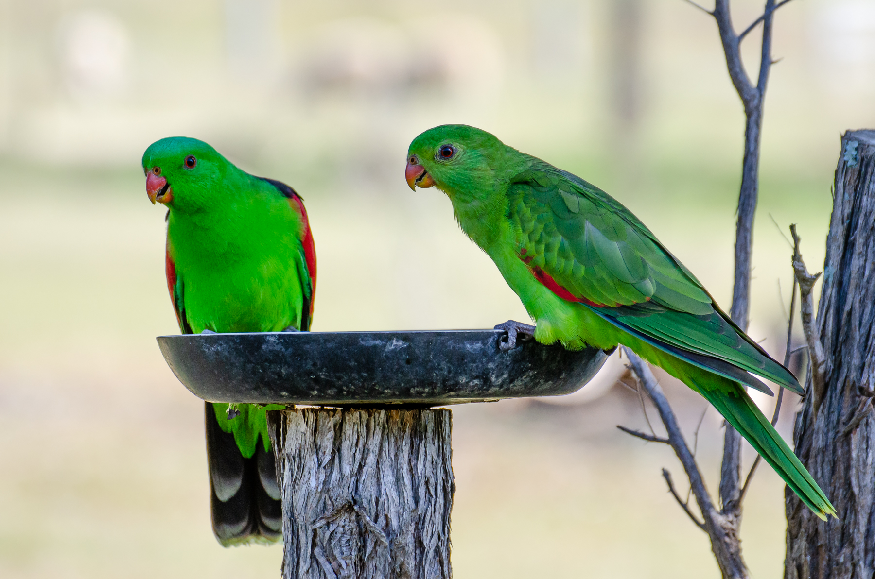 Red-winged Parrot (Image ID 45812)