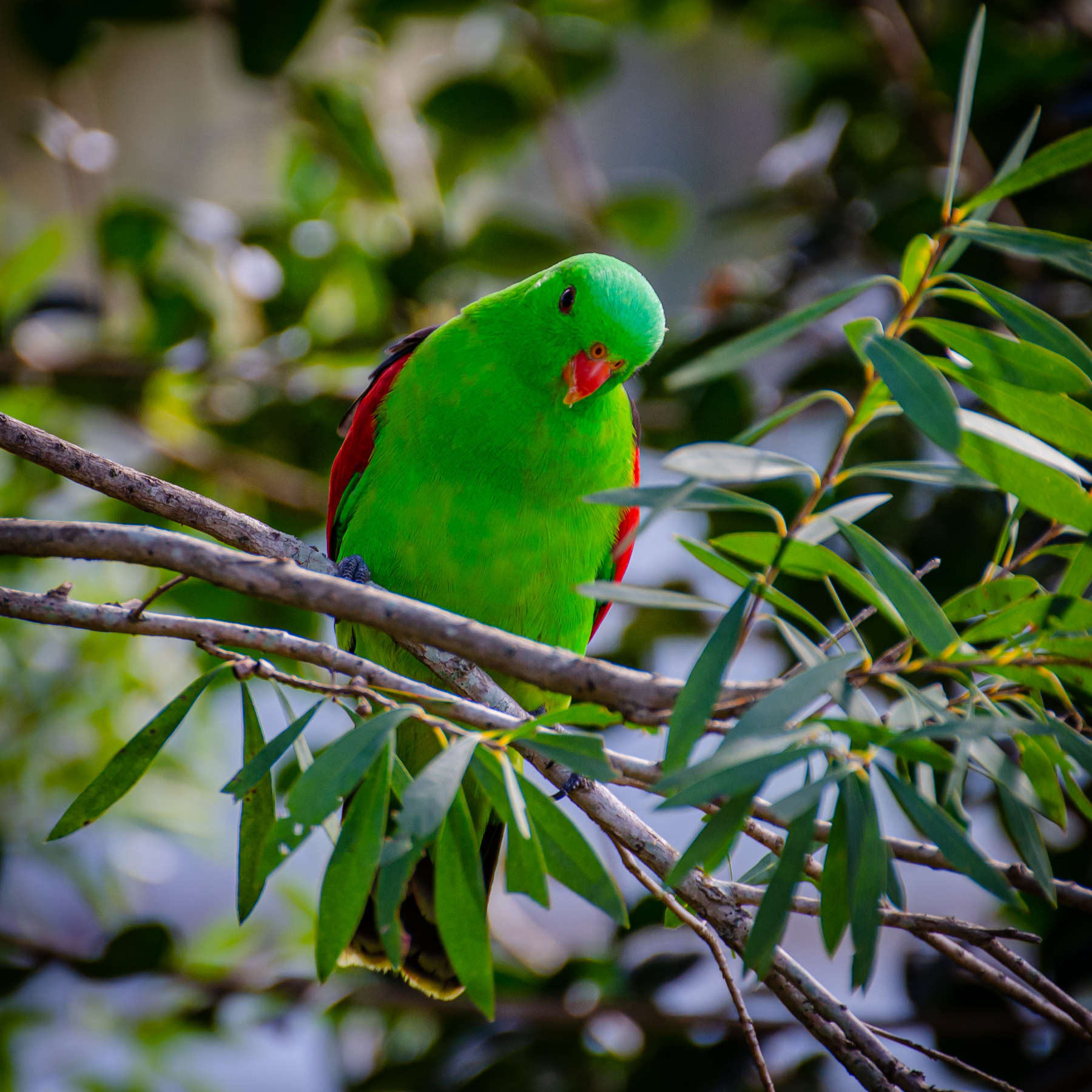 Red-winged Parrot (Image ID 45813)