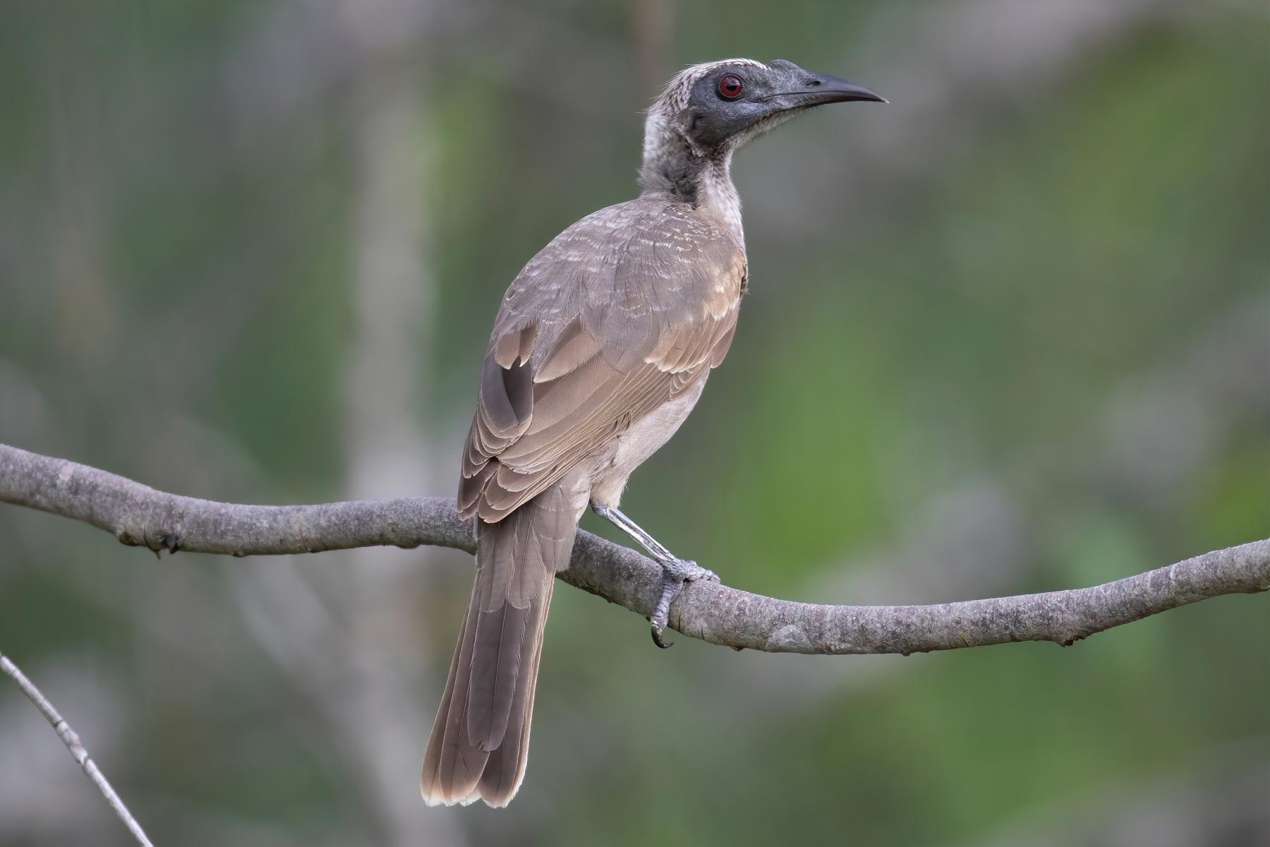Helmeted Friarbird (Image ID 45783)