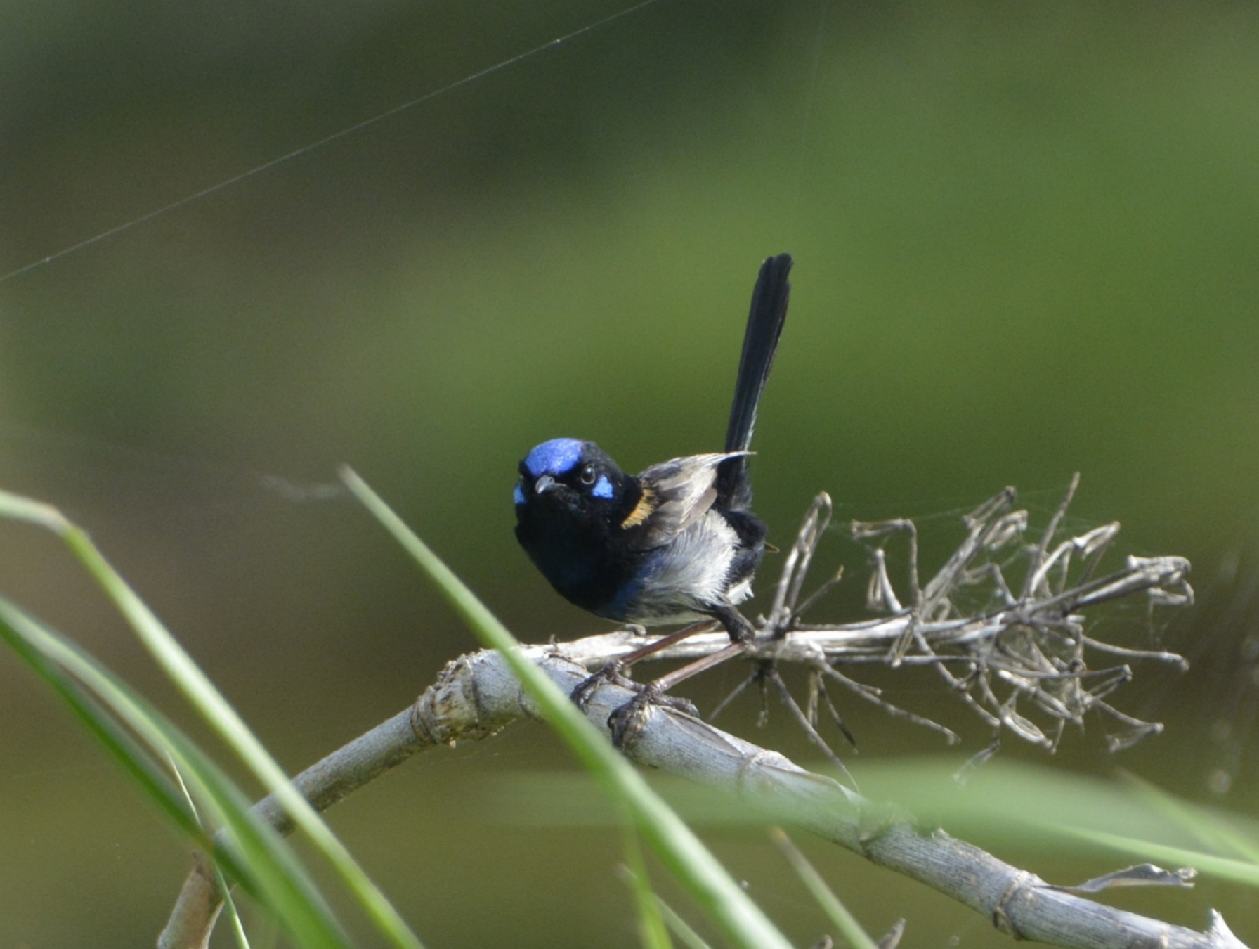 Hybrid, Red-backed Fairy-wren, Superb Fairy-wren (Image ID 45715)