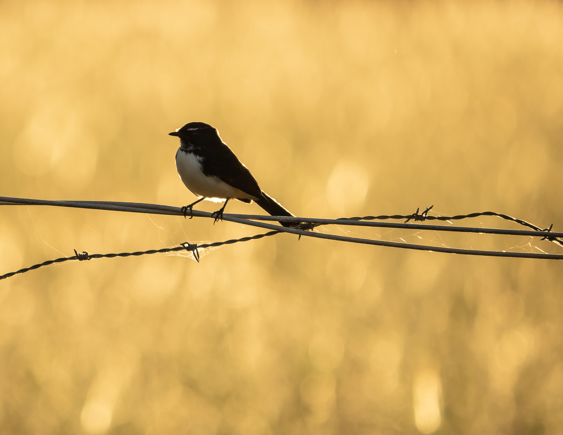 Willie Wagtail (Image ID 45753)