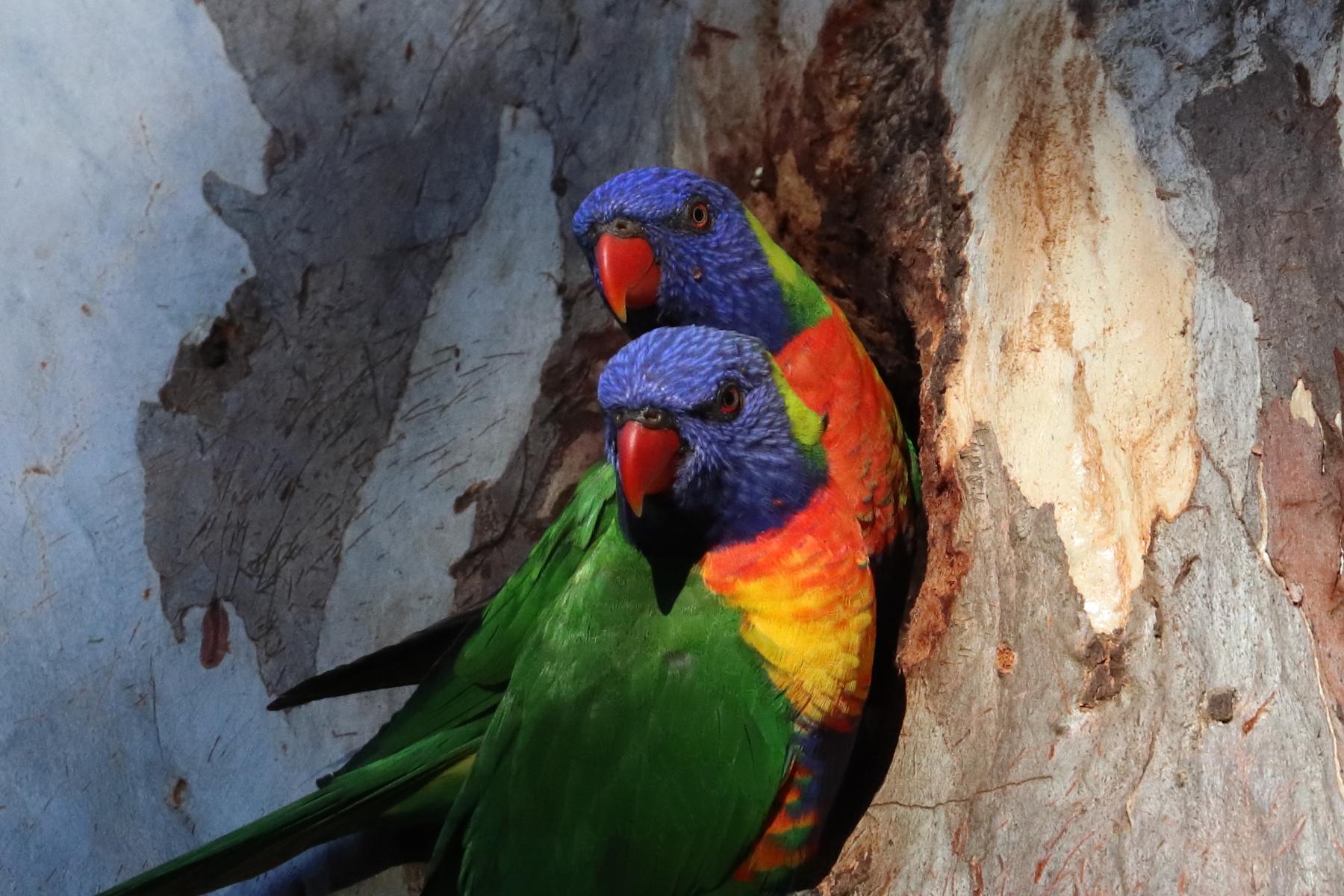Rainbow Lorikeet (Image ID 45674)