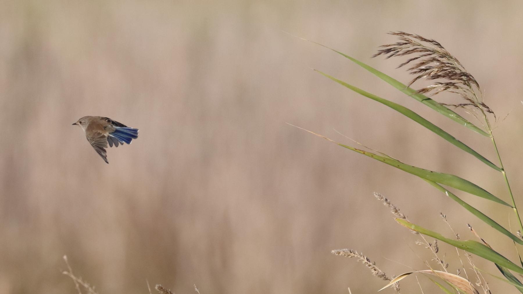 Superb Fairy-wren (Image ID 45631)