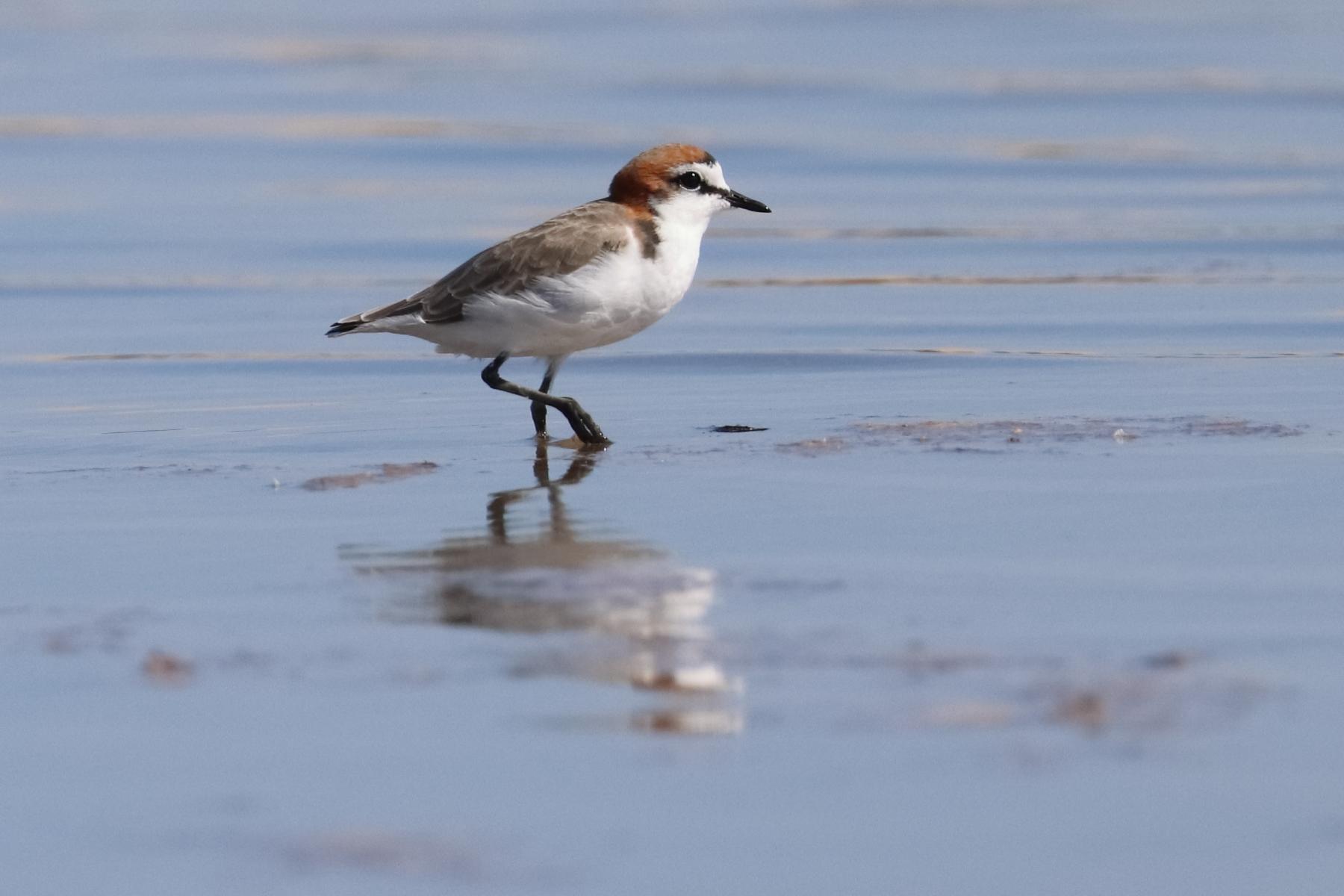 Red-capped Plover (Image ID 45690)