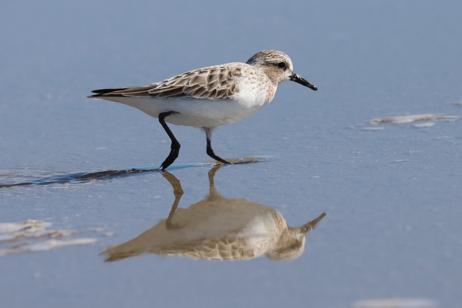 Red-necked Stint (Image ID 45689)