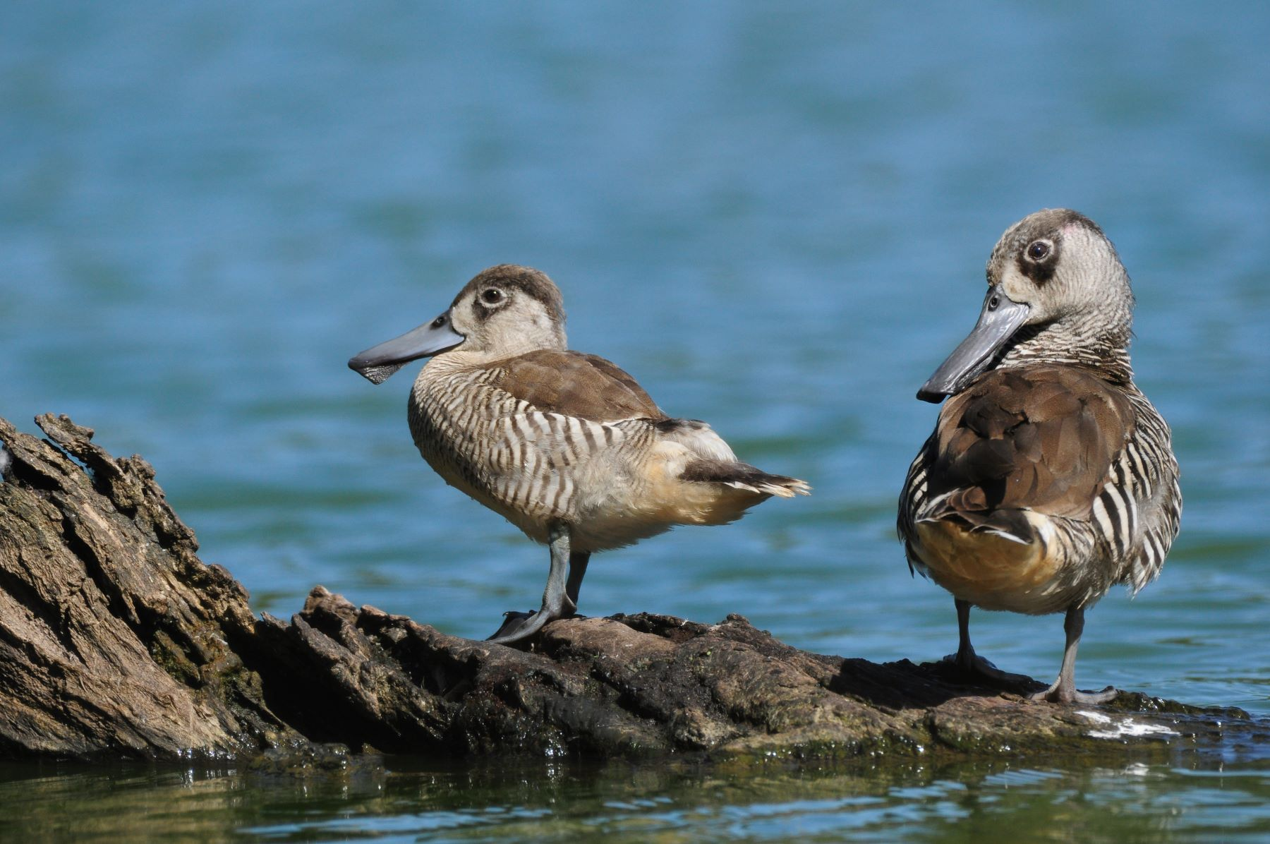 Pink-eared Duck (Image ID 45921)